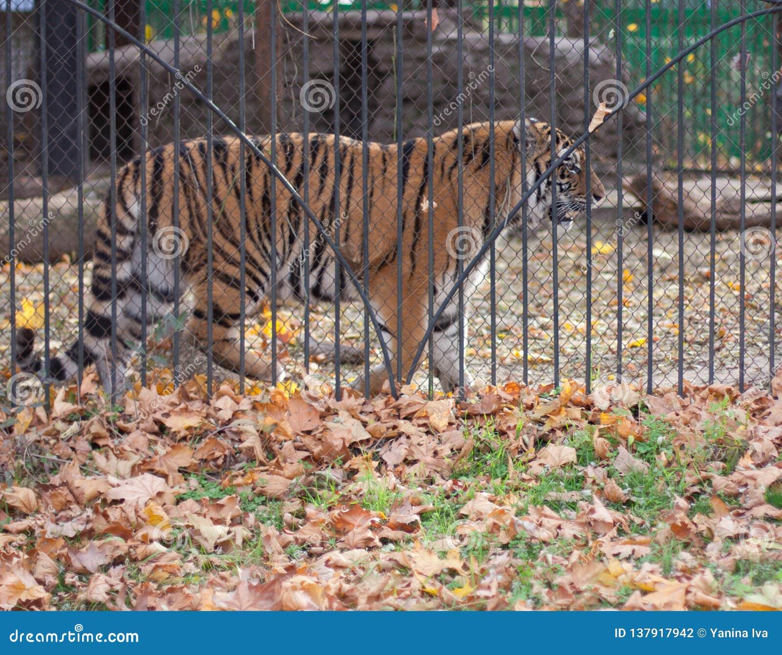 Dorosły tygrys w klatce
