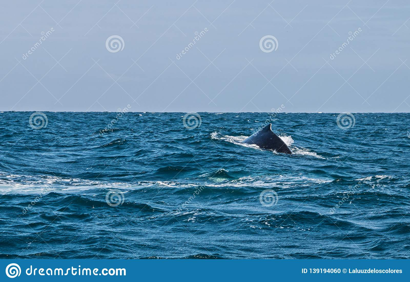Dorsal fin of a baby humpback whale