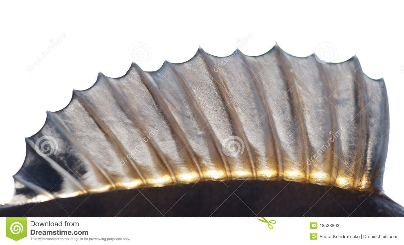 Dorsal fin of a perch stock photos image 18538803 for Fish with scales and fins