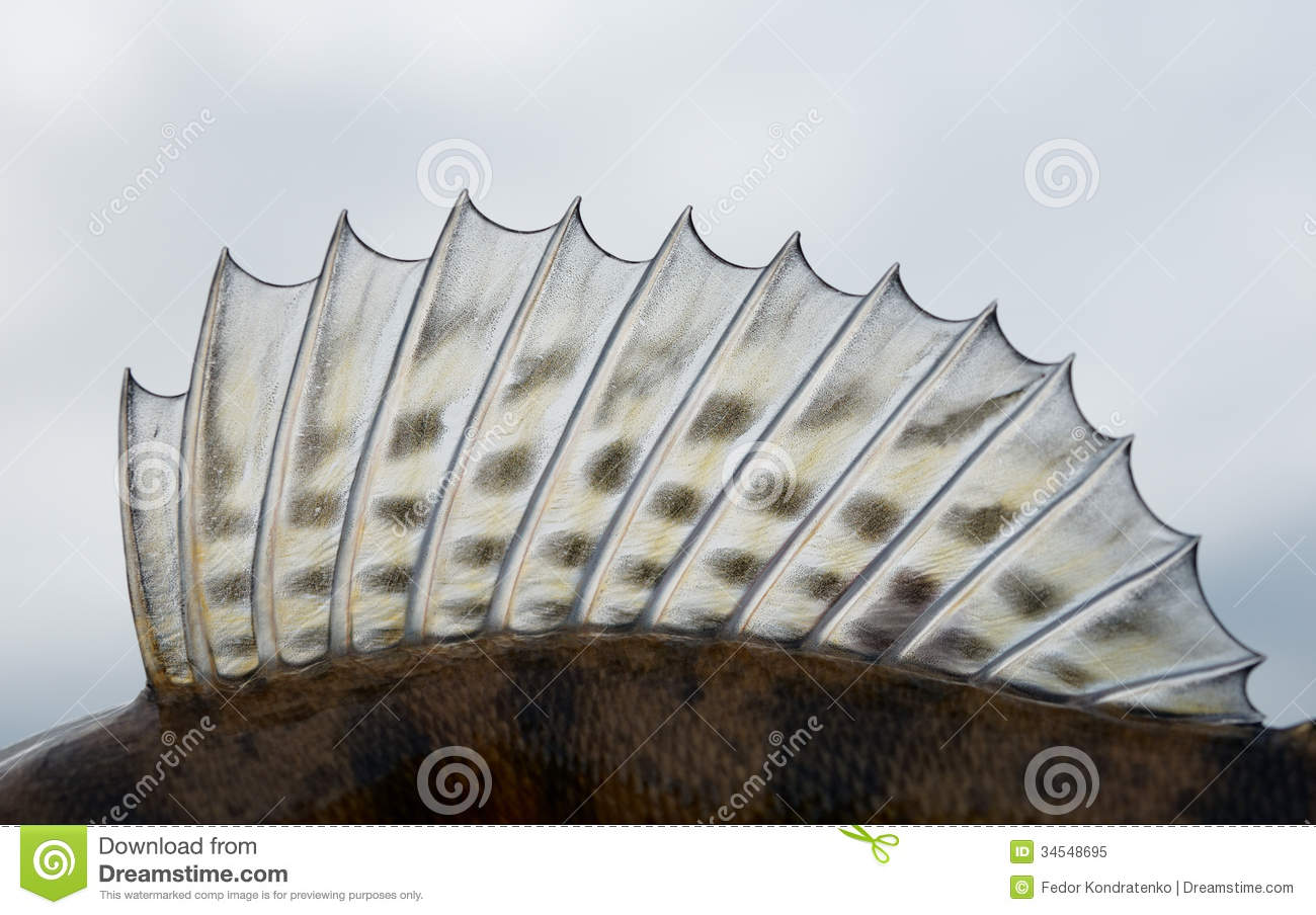 dorsal fin of a walleye pike perch stock image image
