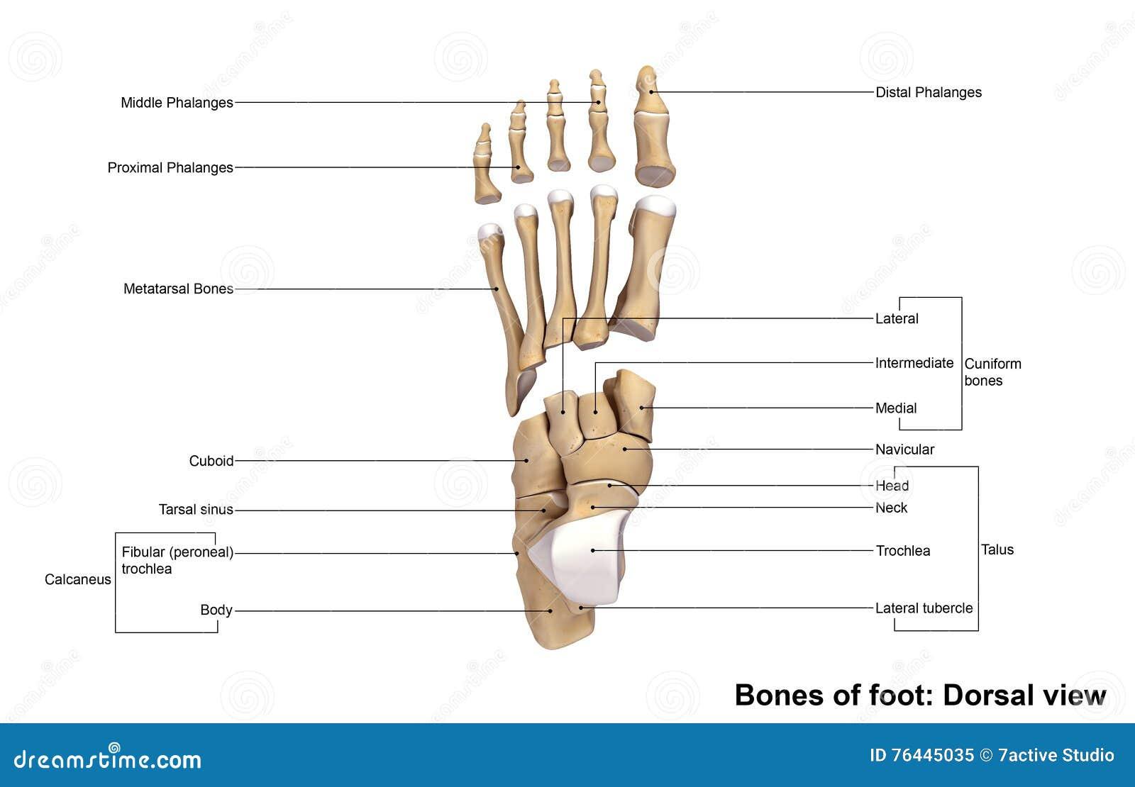 Dorsale Ansicht des Fußes stockbild. Bild von anatomisch - 76445035