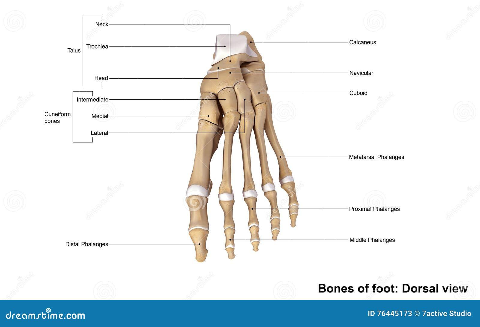 Dorsale Ansicht des Fußes stockbild. Bild von vorderfuß - 76445173