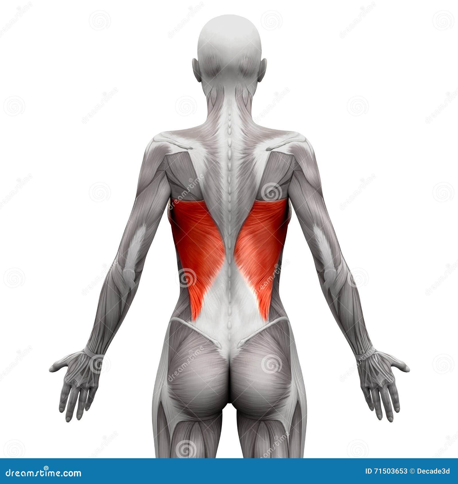 Dorsi Latissimus - мышцы анатомии изолированные на бело- illust 3D