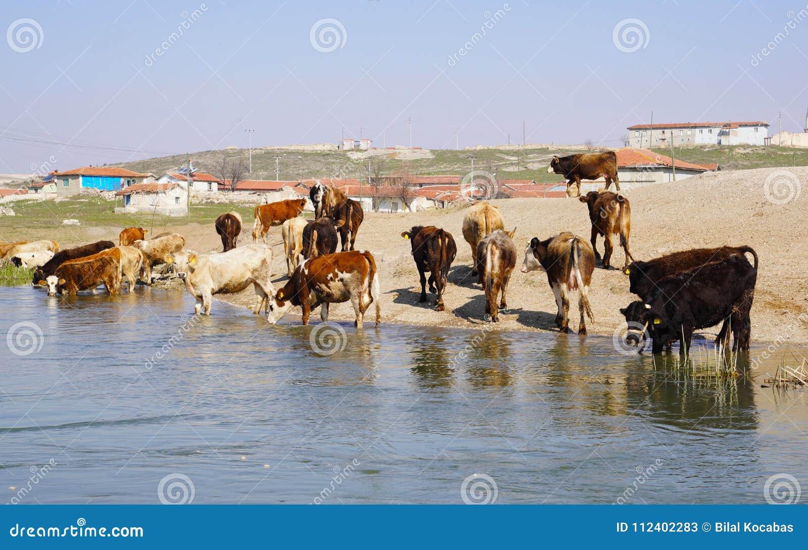 Dorstig koeien drinkwater van de rivier