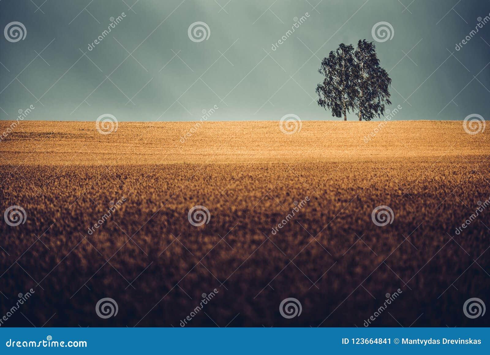 Dos árboles de abedul en campos de trigo de oro