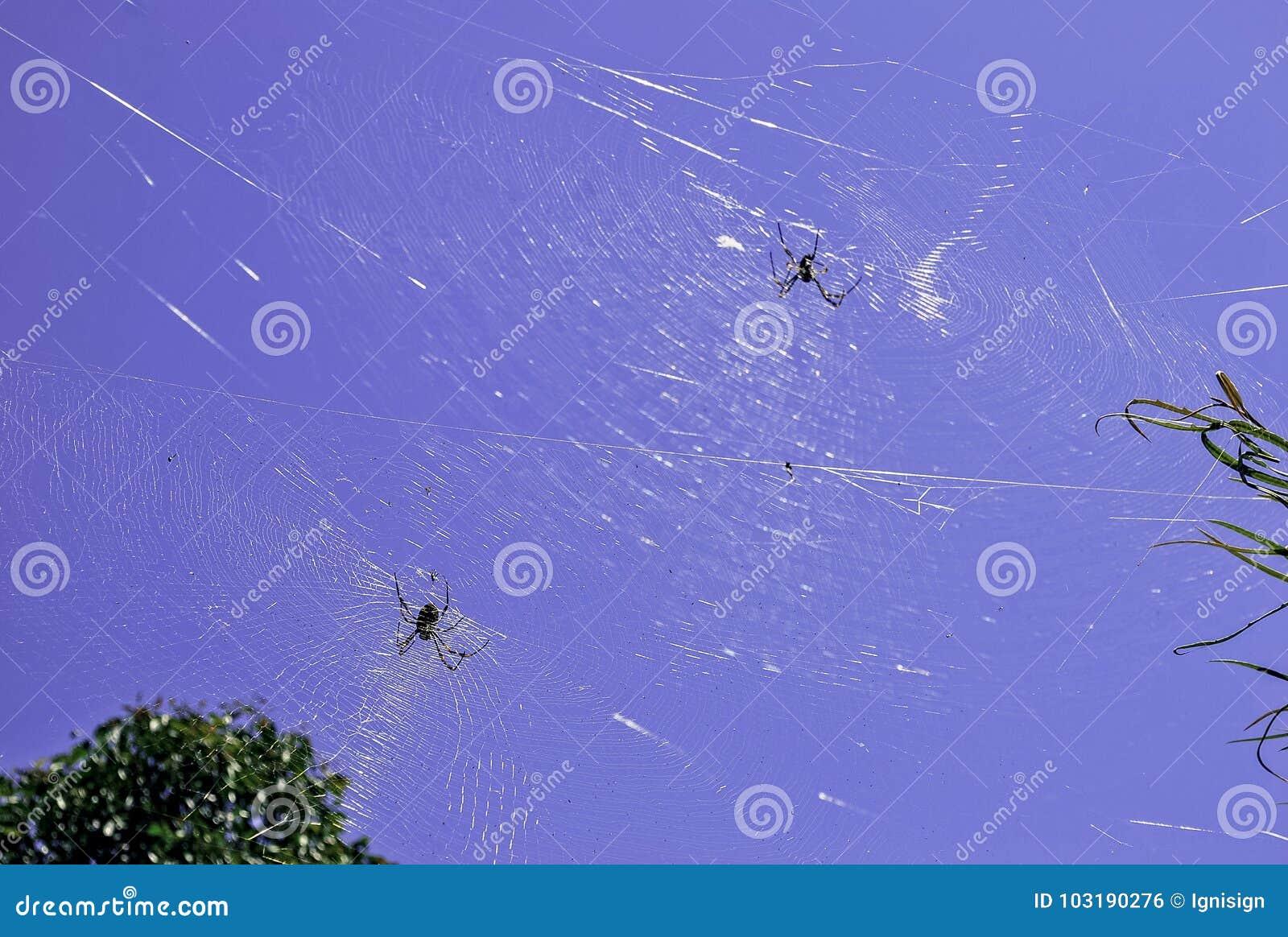 Dos arañas en plantas de conexión de una telaraña grande en un jardín, visto contra el cielo azul brillante