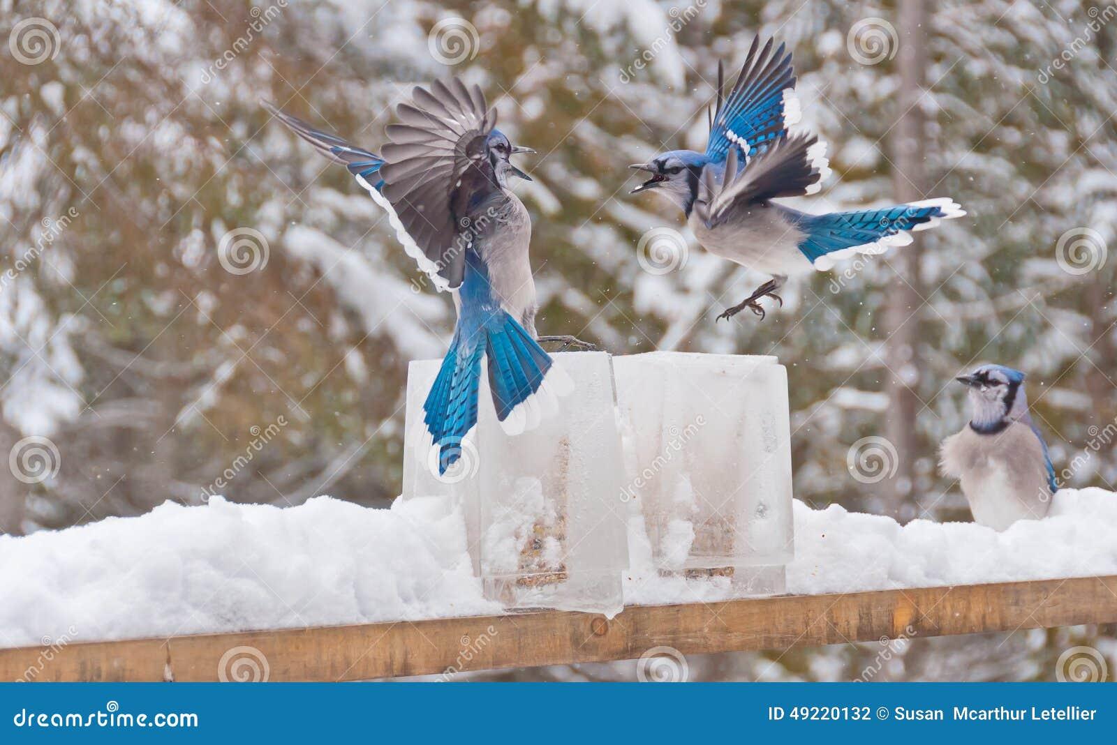 Dos arrendajos azules (desambiguación) que luchan sobre alimentadores del hielo