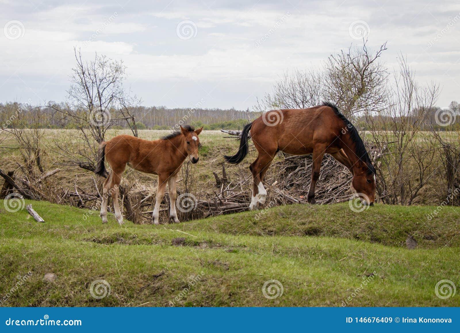 Dos caballos jovenes que pastan en el pasto