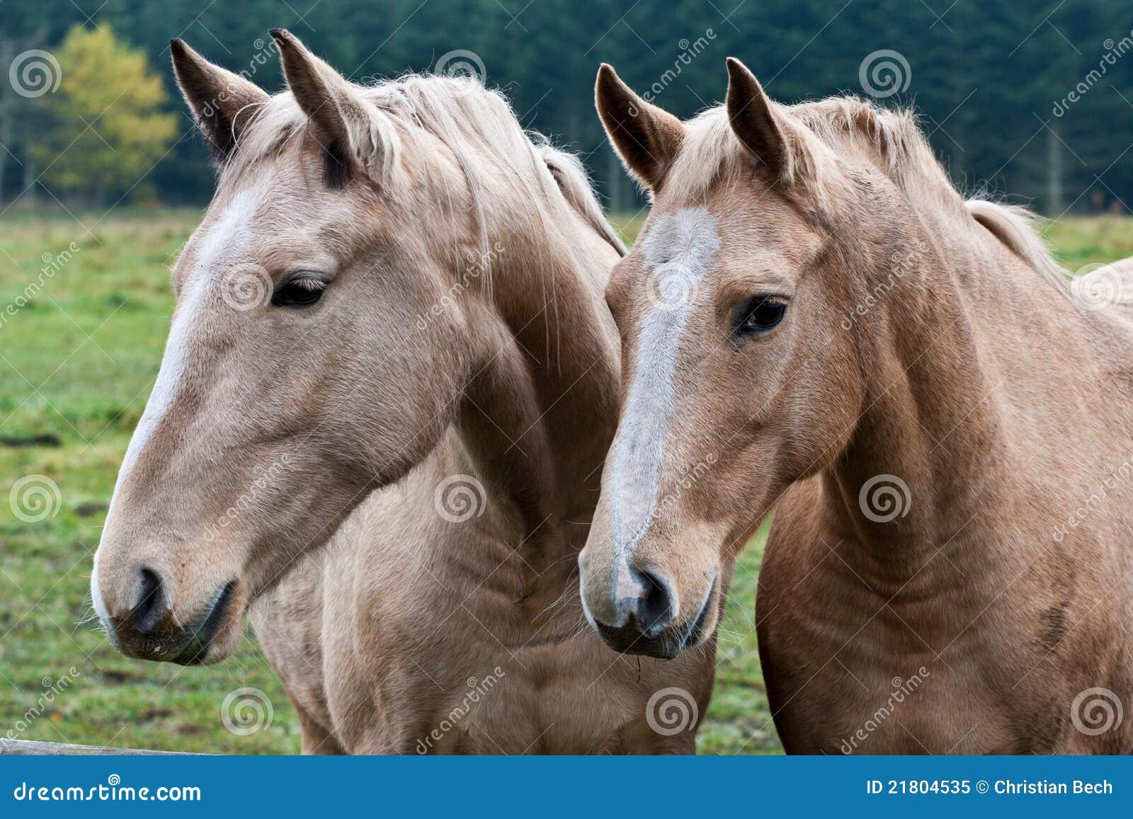 Dos caballos marrones
