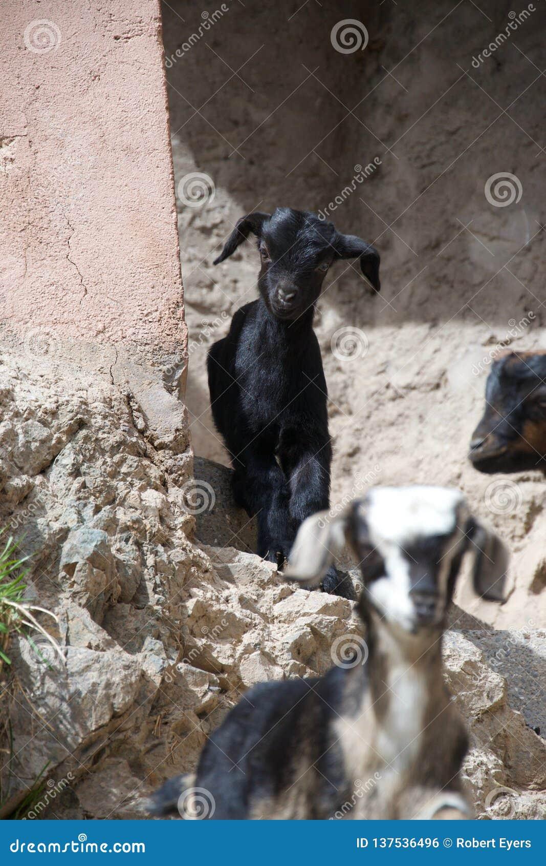 Dos cabras en un ambiente urbano rocoso