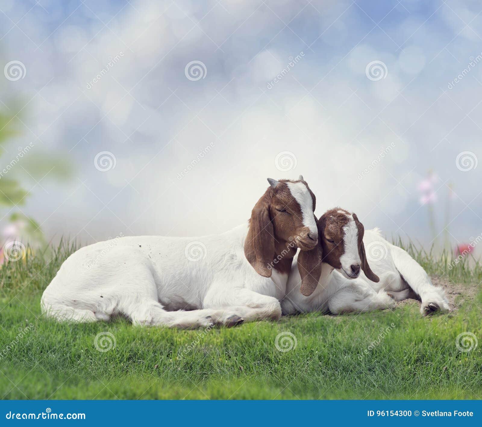 Dos cabras jovenes del Boer