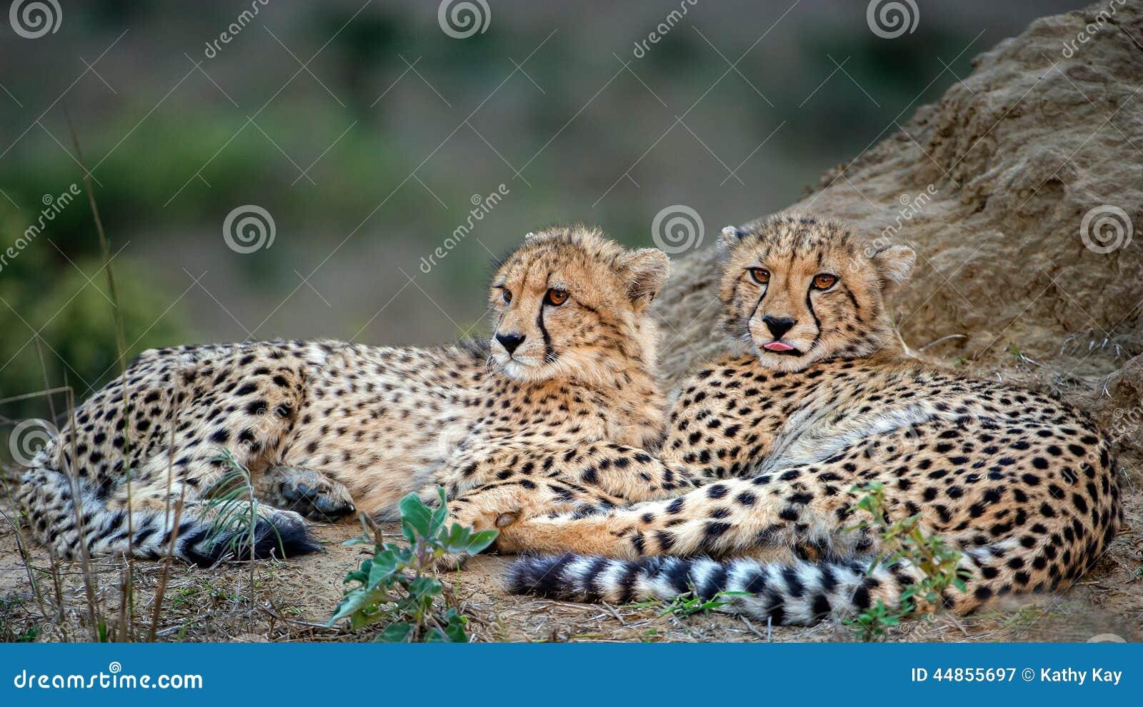 Dos cachorros del guepardo