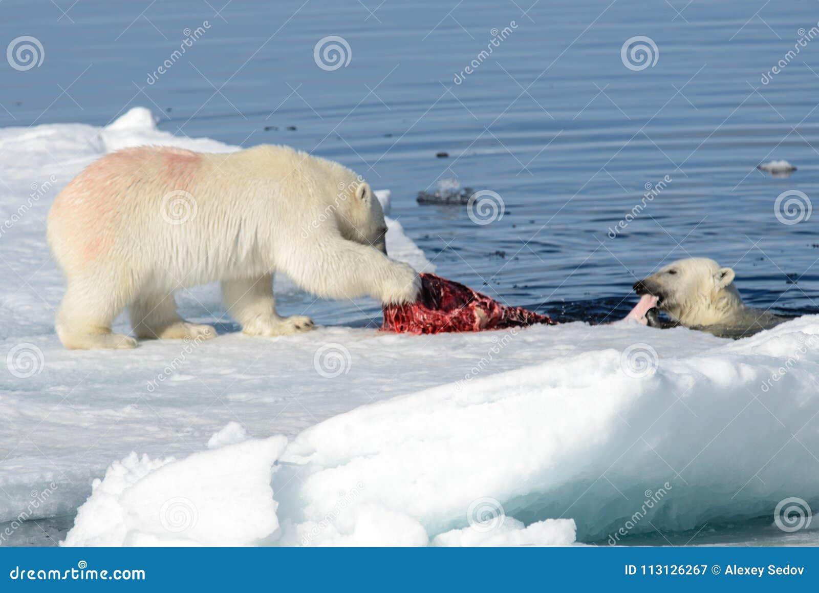 Dos cachorros del oso polar que juegan junto en el hielo