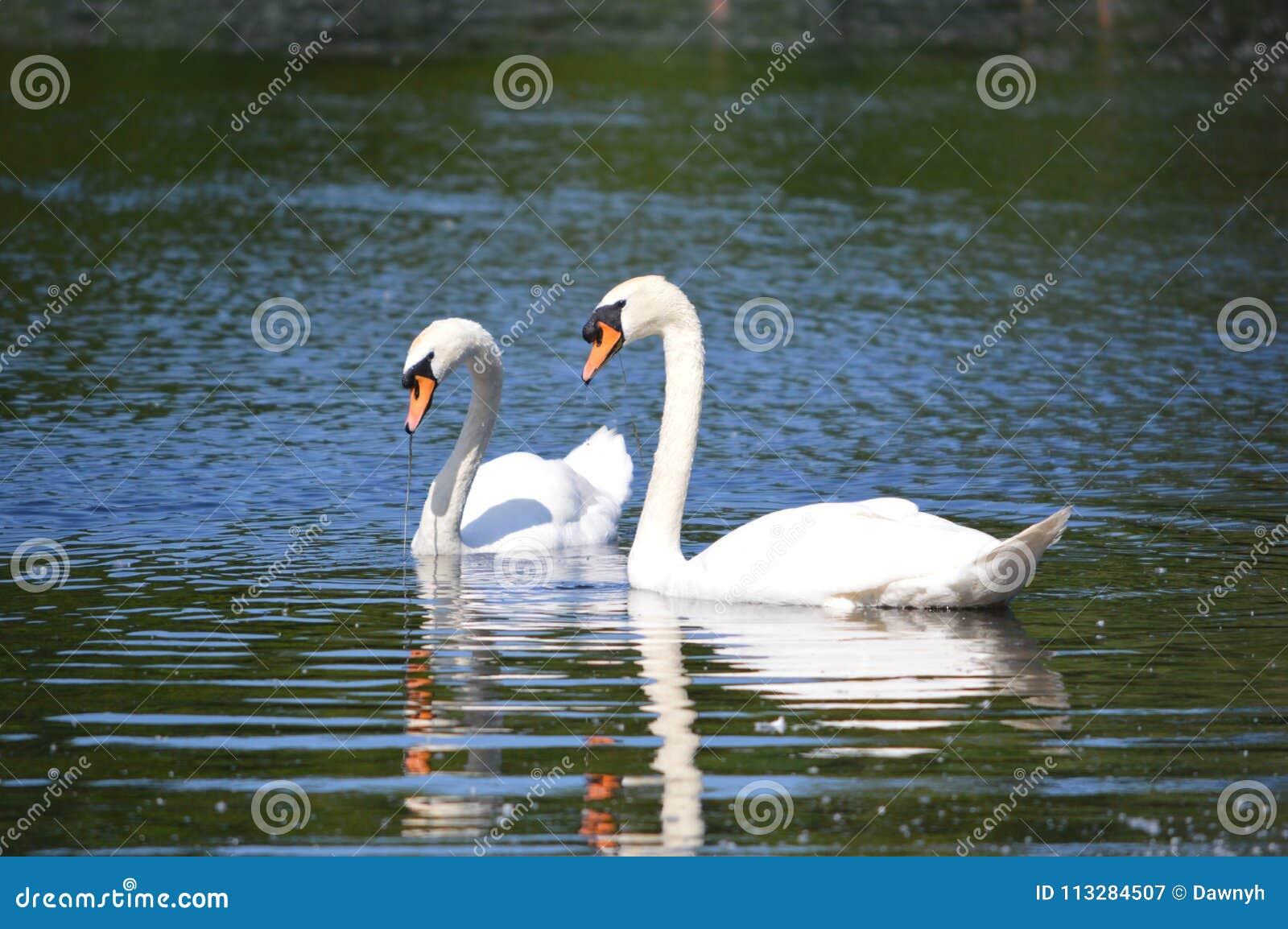Dos cisnes blancos en un lago en el Reino Unido