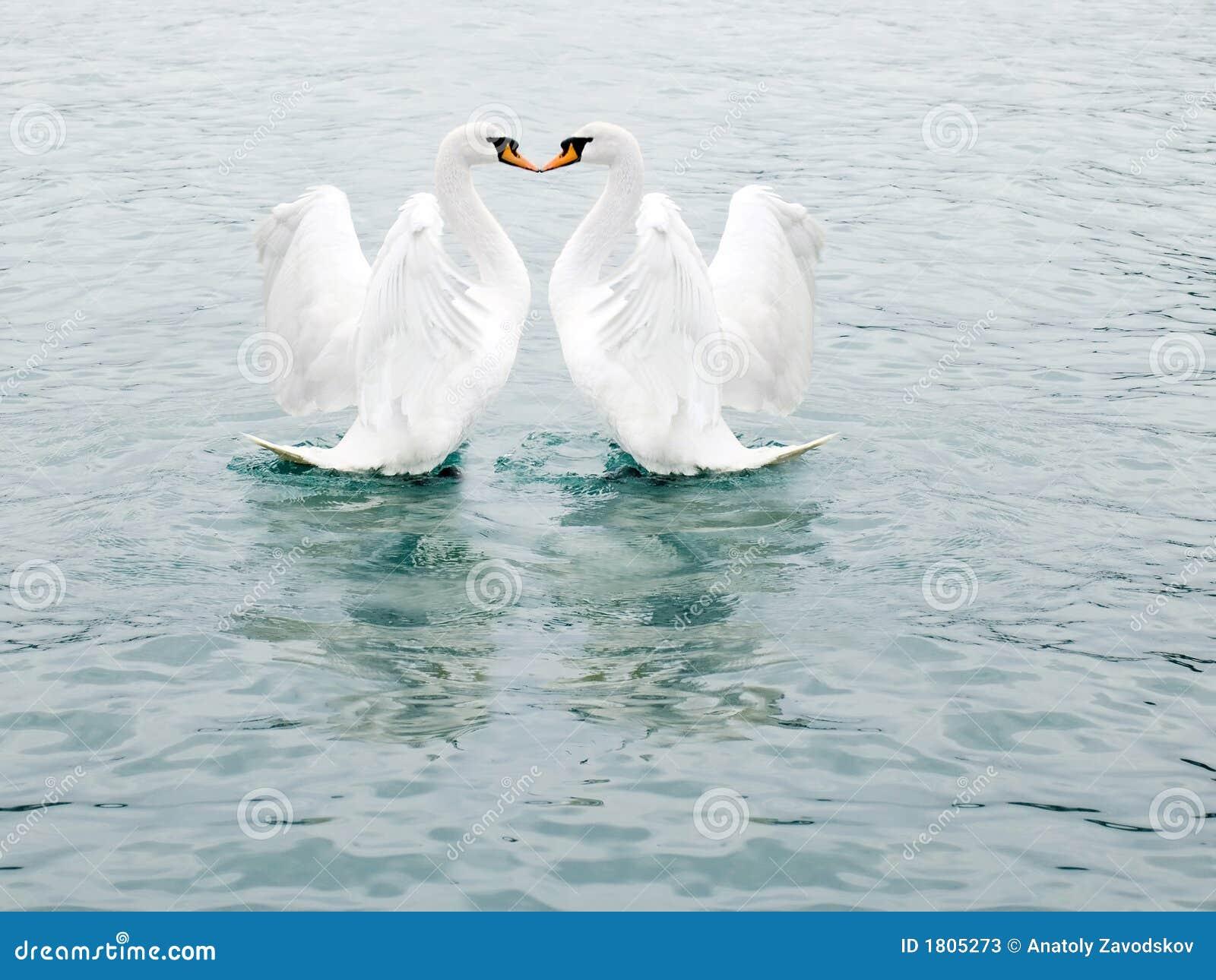 Dos cisnes blancos finos