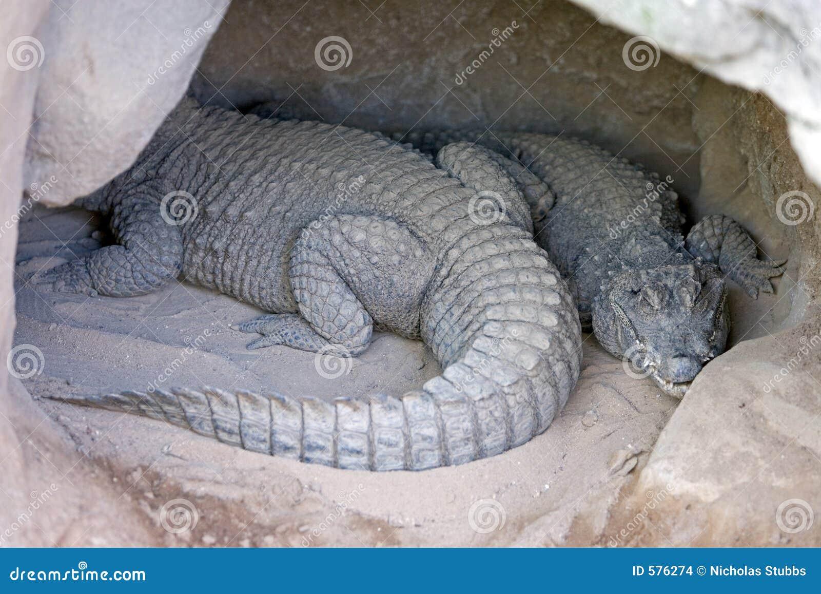 dos cocodrilos o cocodrilos dormidos en una cueva foto de archivo