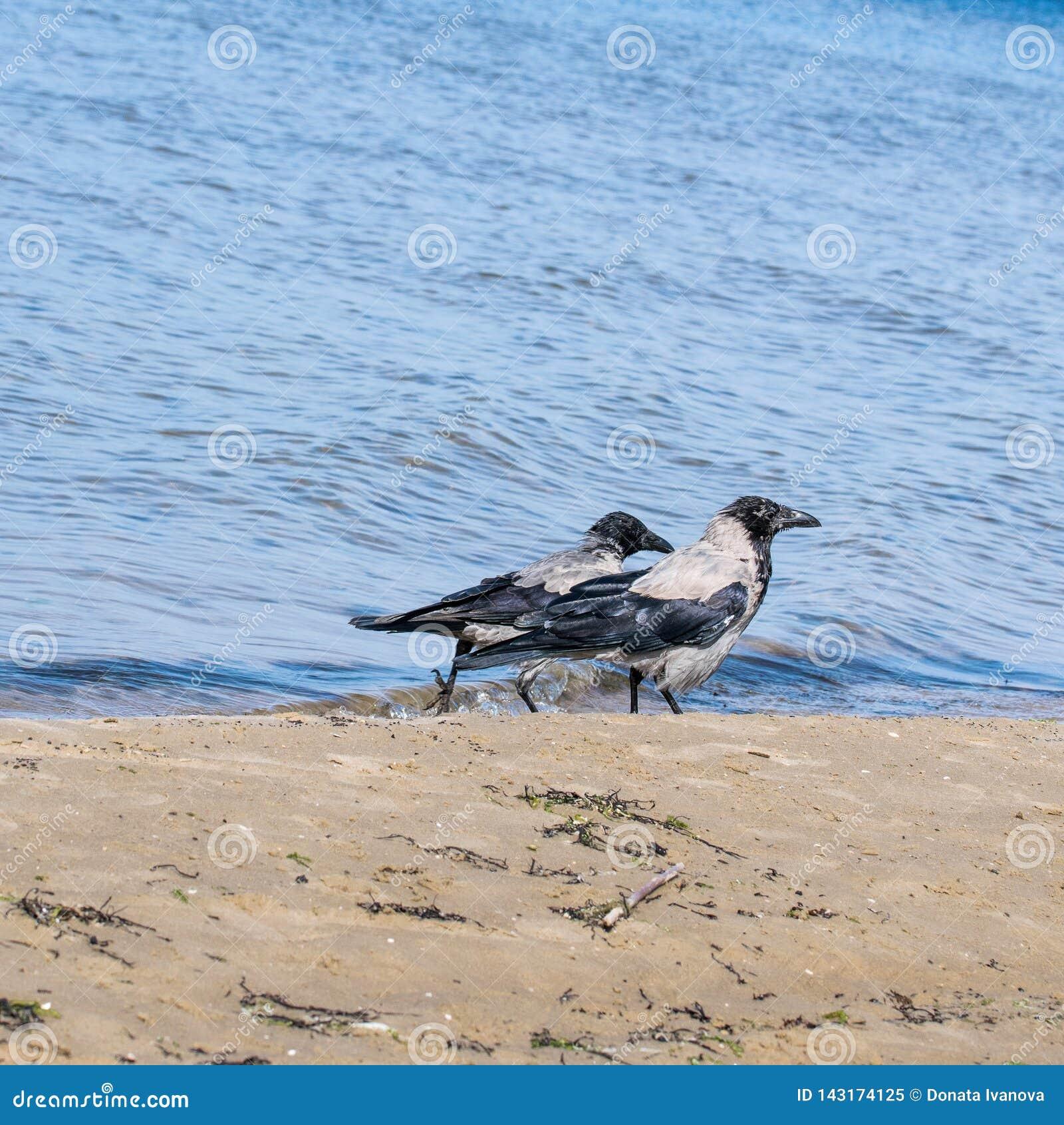 Dos cuervos grises que caminan a lo largo de la orilla del mar Báltico en busca de la comida Cornix del Corvus Passerine