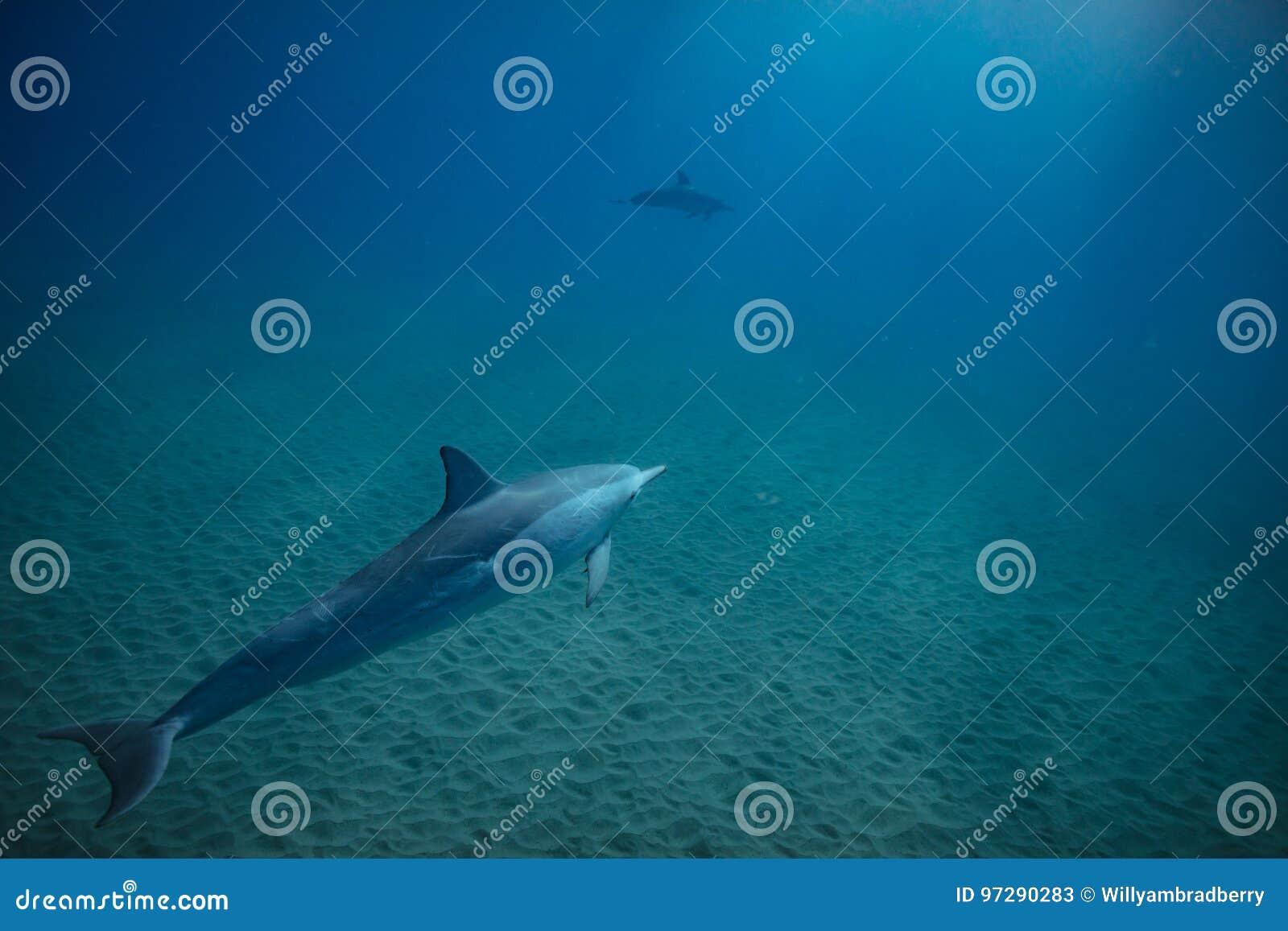 Dos delfínes subacuáticos en azul