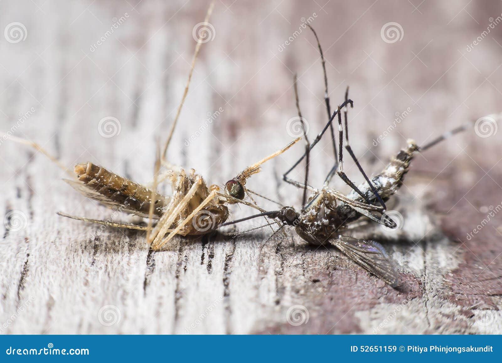 Dos especies de causa de los mosquitos de la dengue y de la malaria