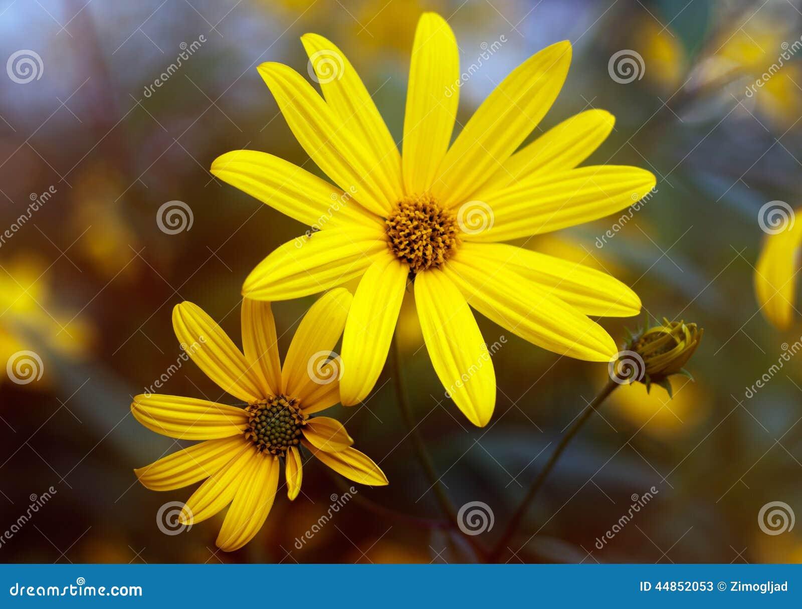Dos flores de alcachofa de Jerusalén