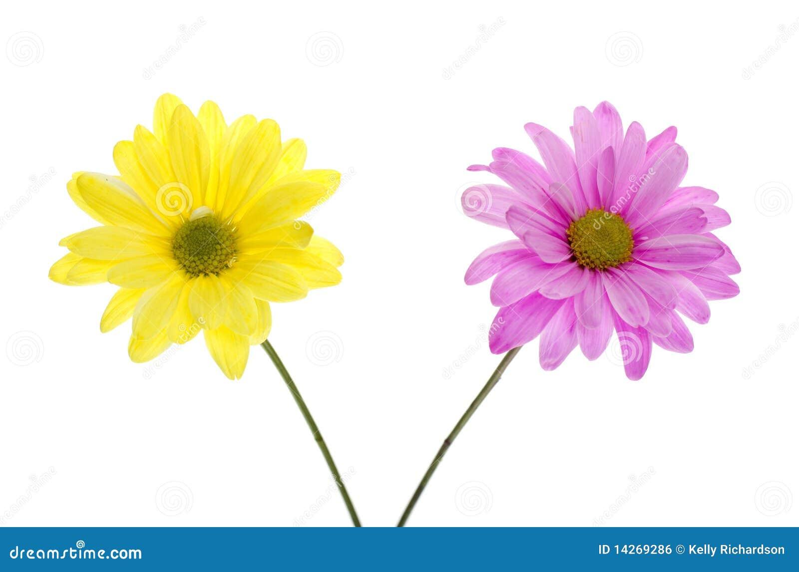 Dos Flores De La Margarita De Shasta: Color De Rosa Y ...
