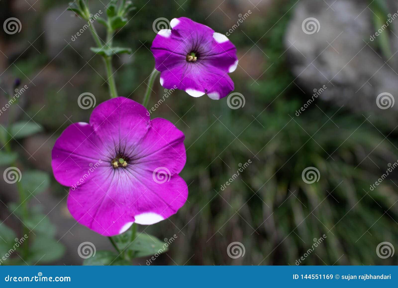 Dos flores rosadas púrpuras