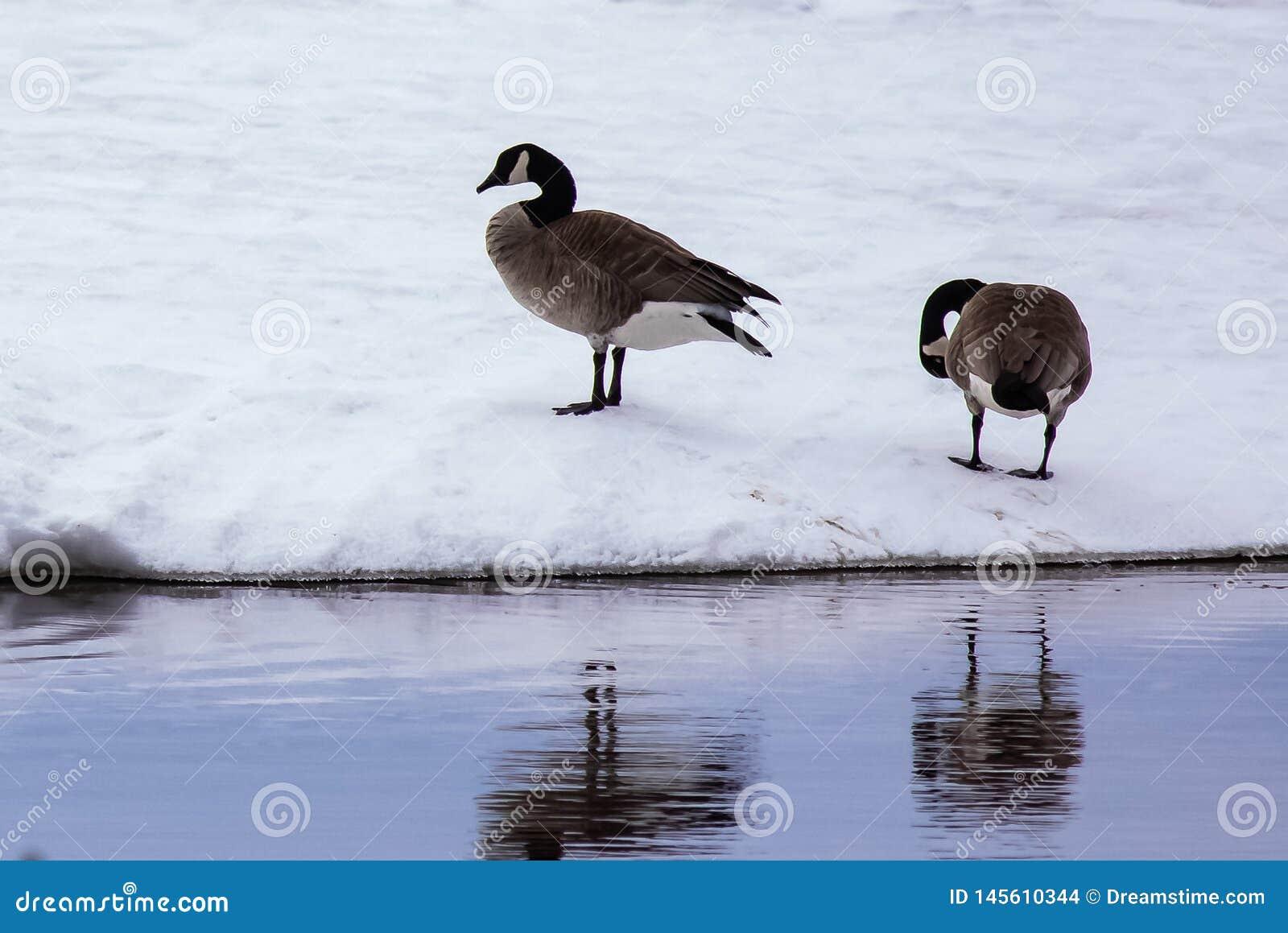 Dos gansos en el lago Nipissing