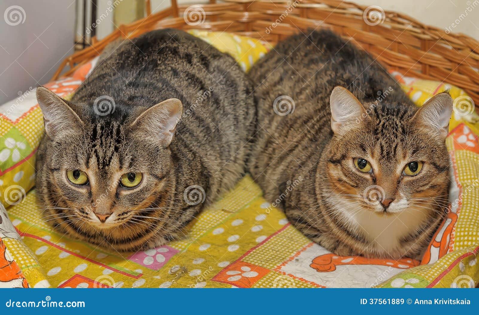 Dos gatos rayados Imágenes de archivo libres de regalías