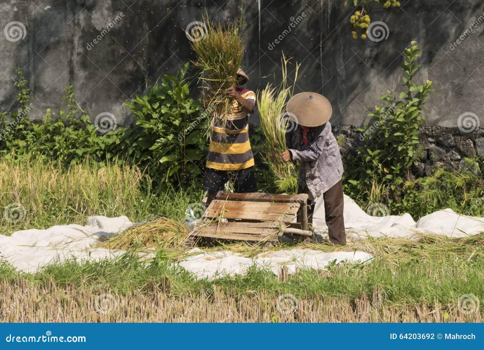 Dos granjeros indonesios que separan granos del arroz treshing las plantas