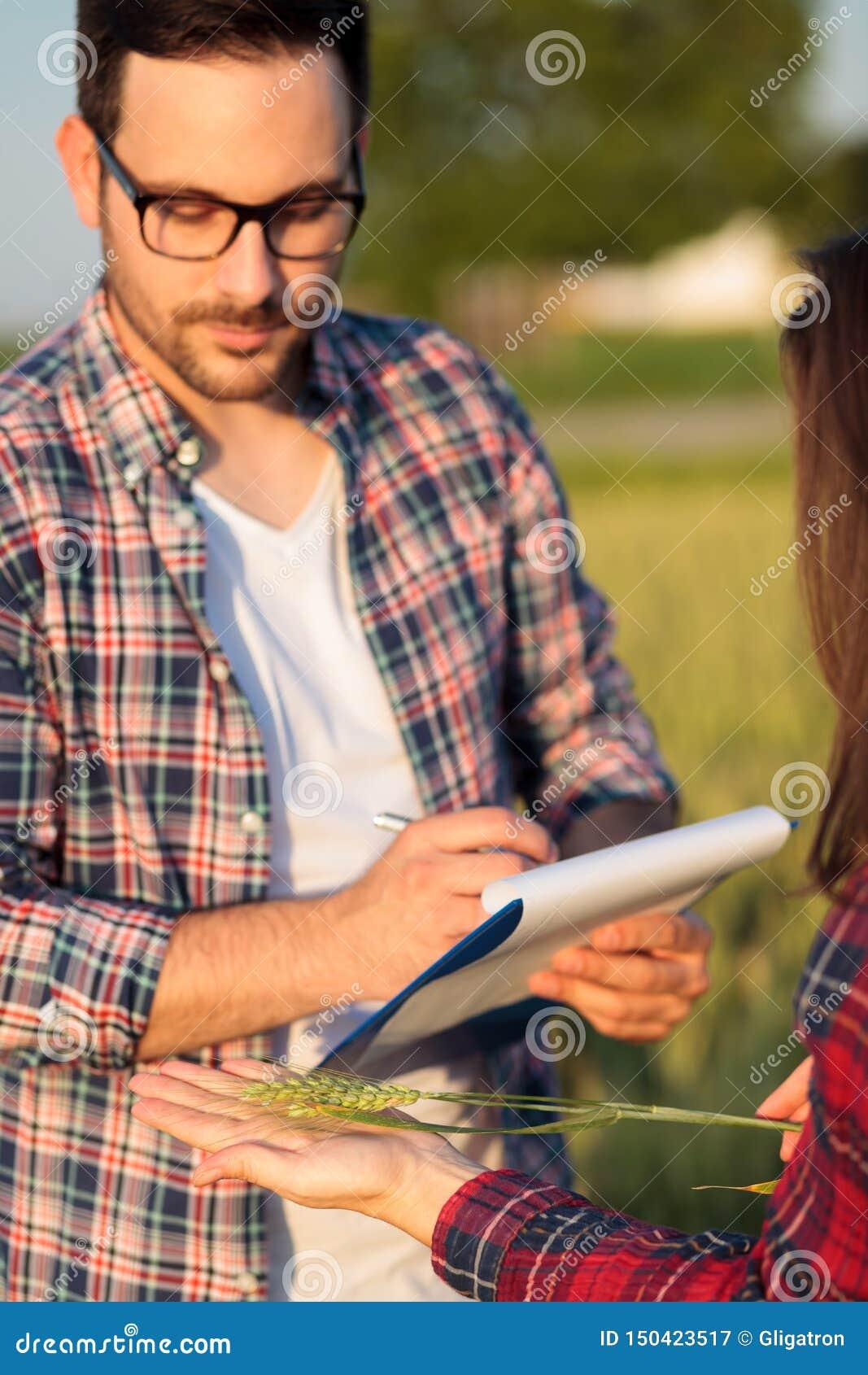 Dos granjeros jovenes serios o agrónomos de sexo femenino y de sexo masculino que examinan troncos de la planta del trigo antes d