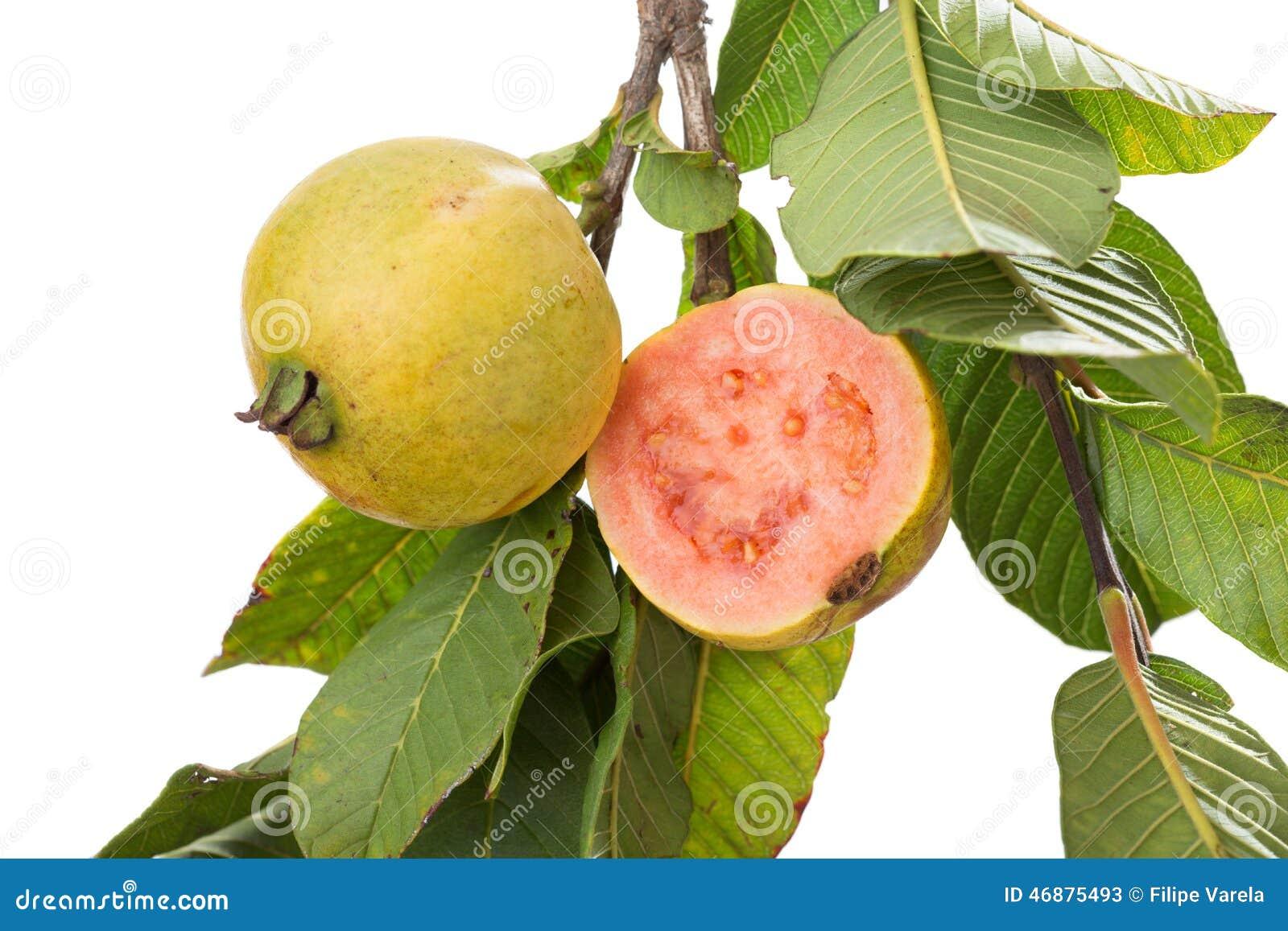 arbol e guayaba rboles t