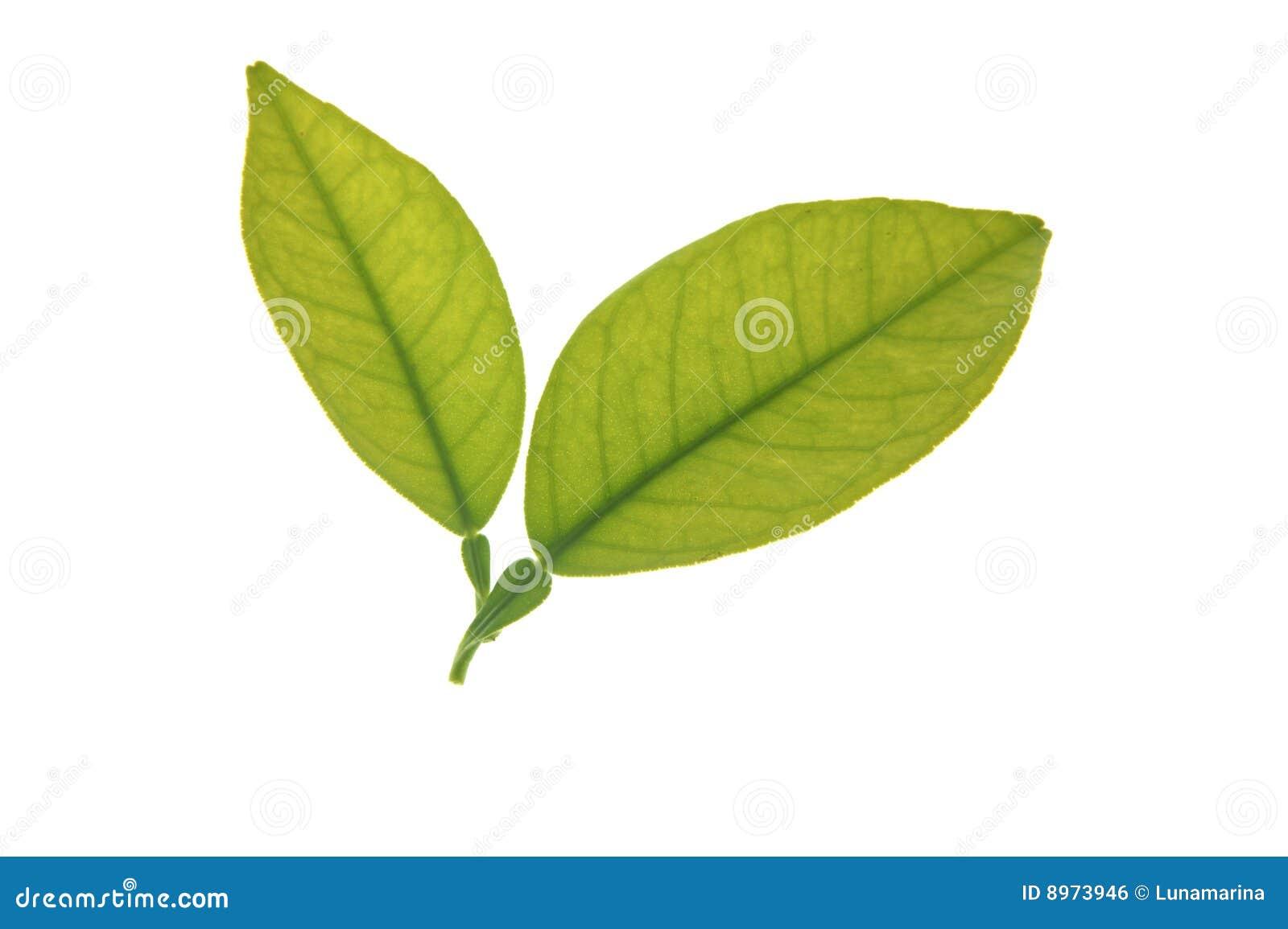 Dos Hojas Verdes Del árbol Anaranjado Aisladas Sobre