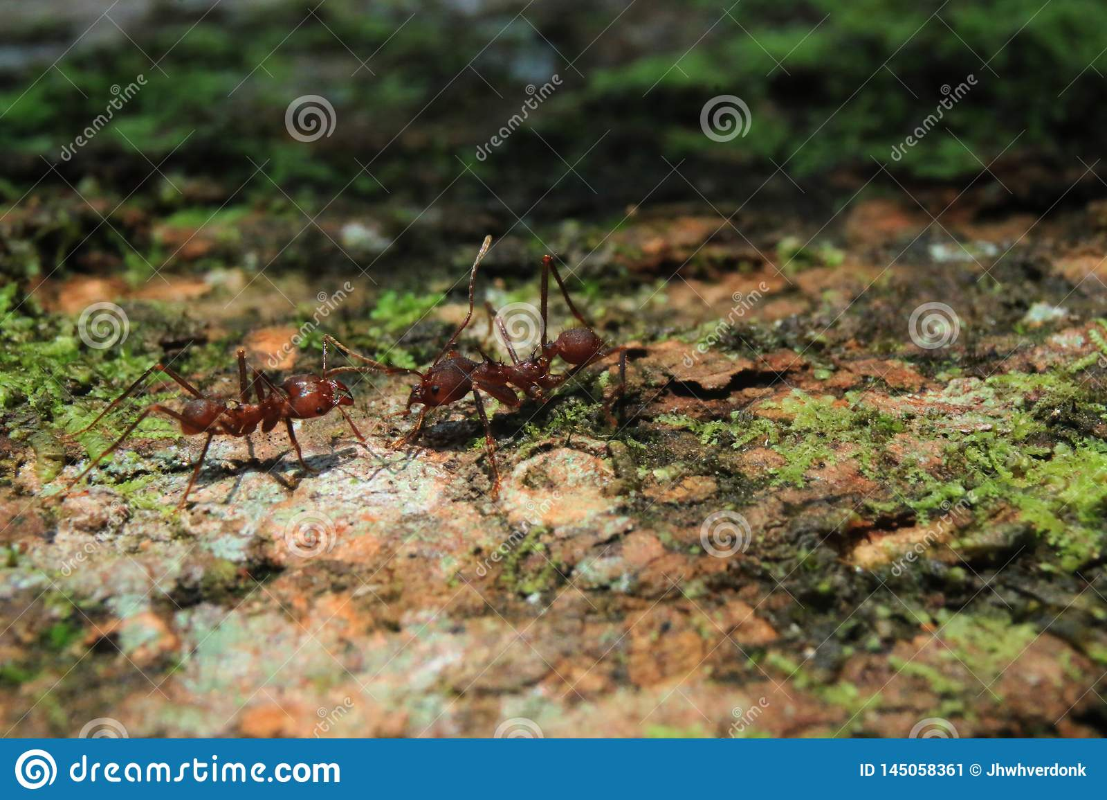 Dos hormigas del cortador de la hoja del soldado que greating