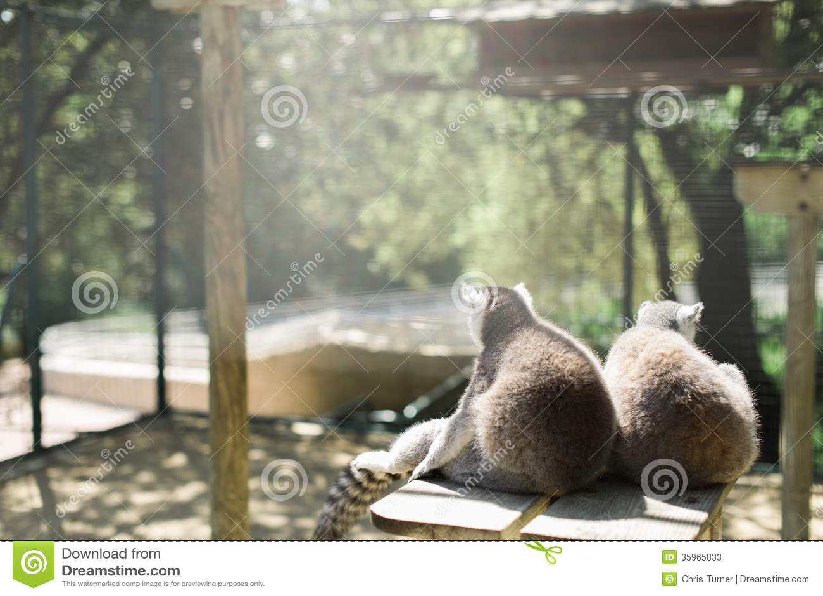 Dos lémures en un parque zoológico