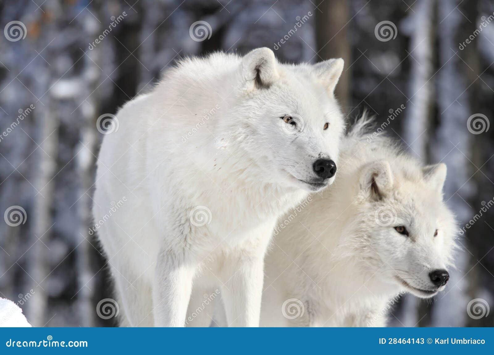 Dos Lobos Del Arctics Imagen De Archivo Imagen De Potencia 29205851