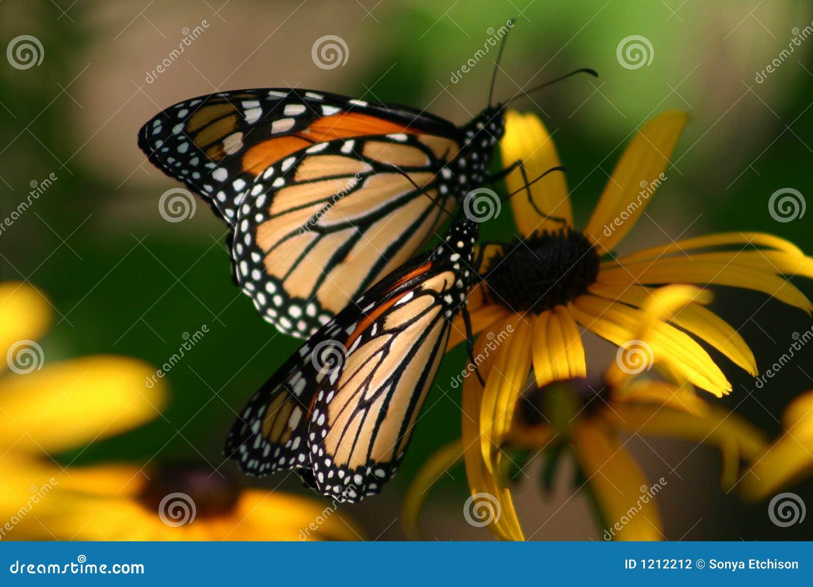 Dos mariposas