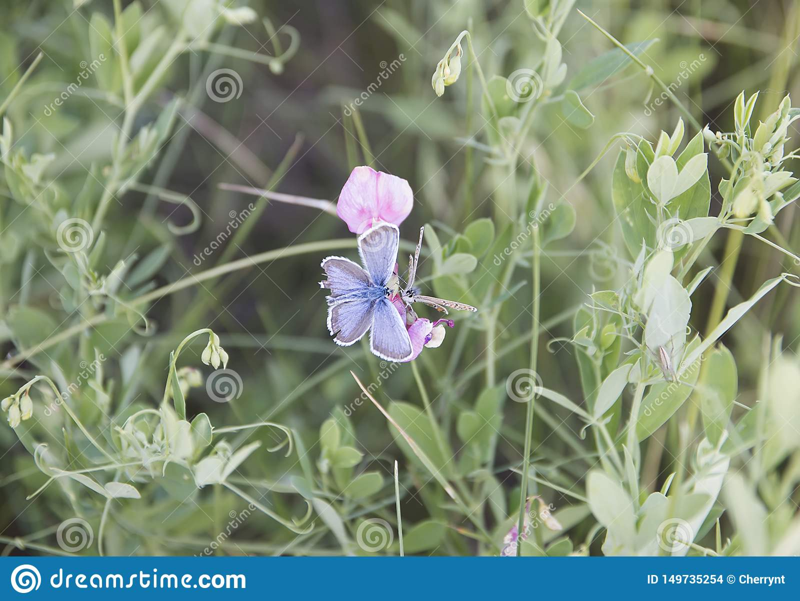 Dos mariposas, sentándose en una flor