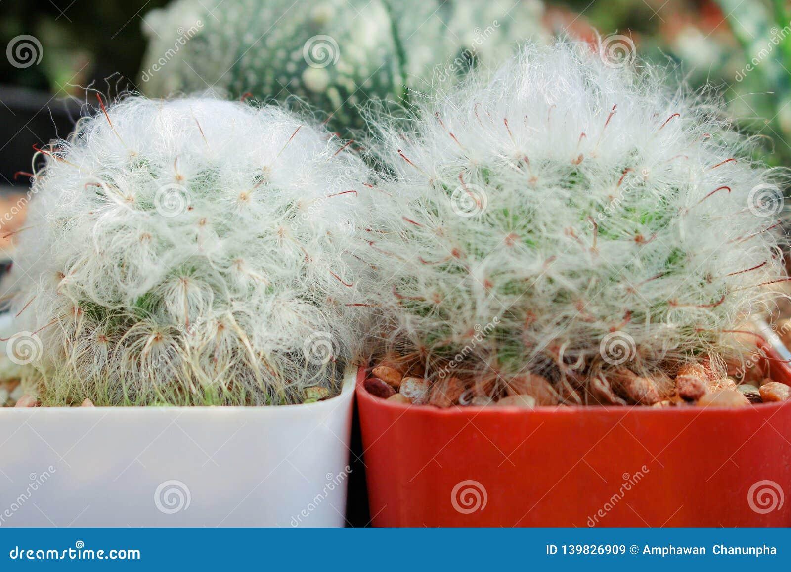 Dos modelos naturales del cactus del bocasana del mammillaria en el pote blanco y rojo