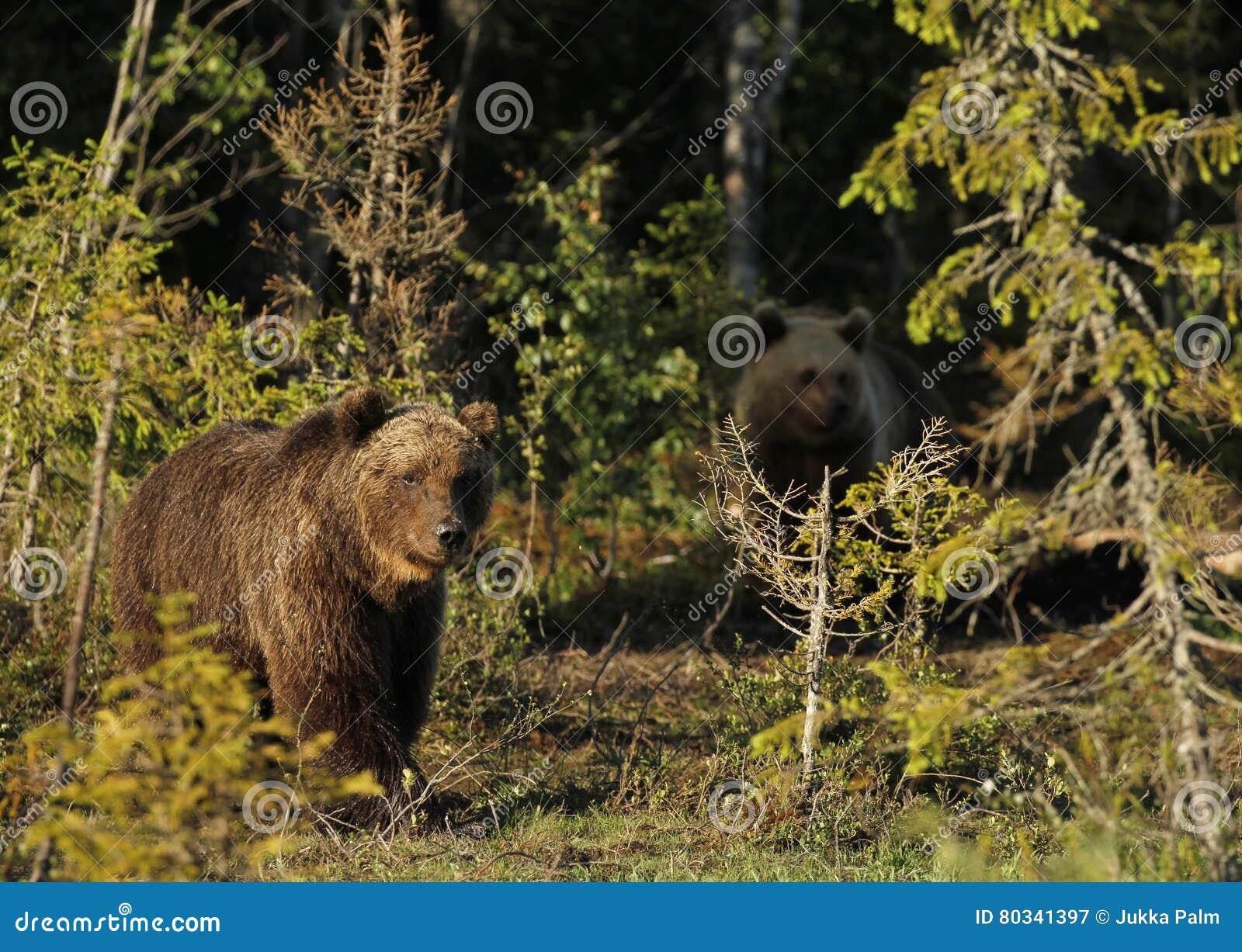 Dos osos de Brown del eurasiático