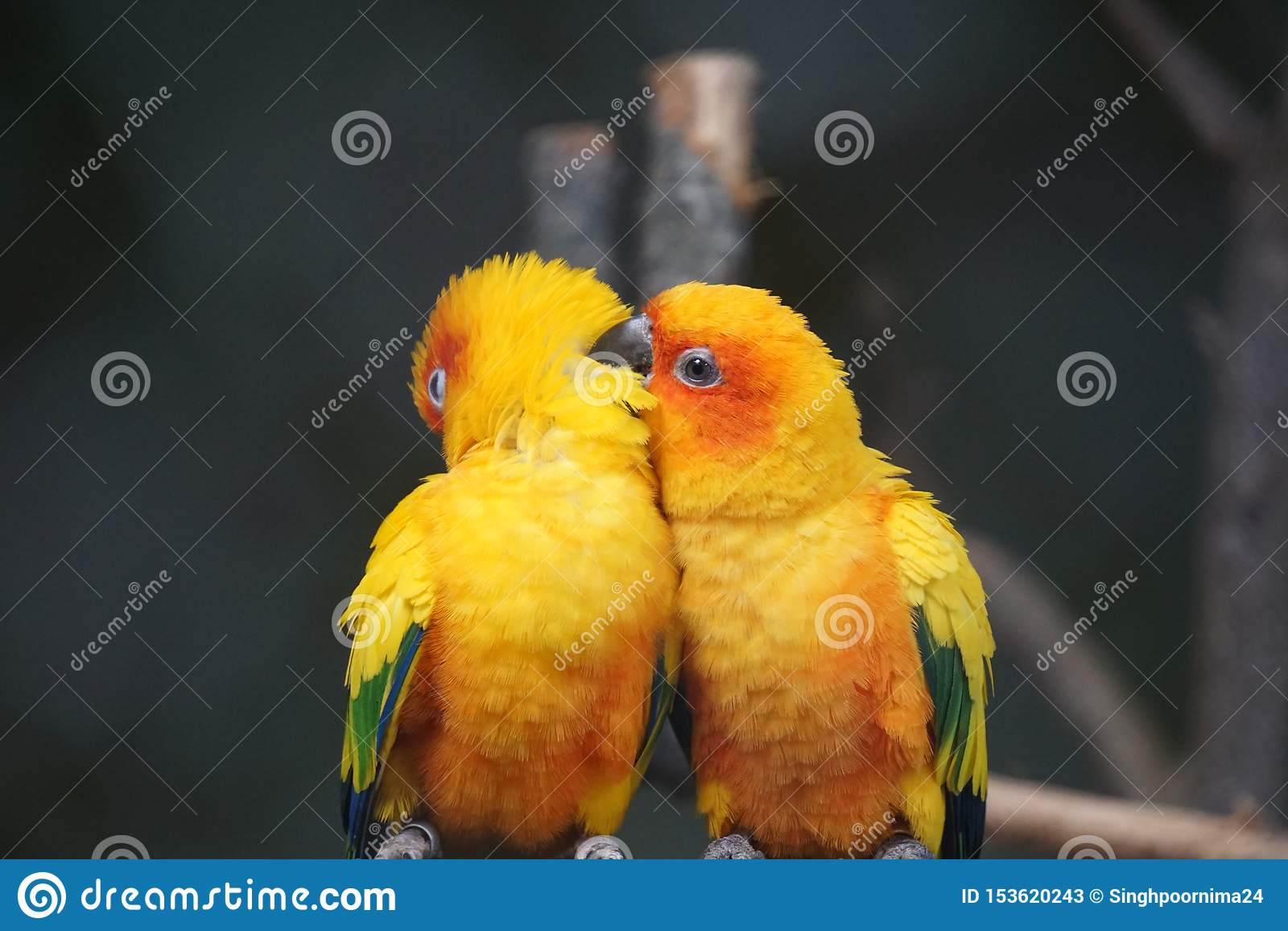 Dos pájaros amarillos se están sentando en la rama