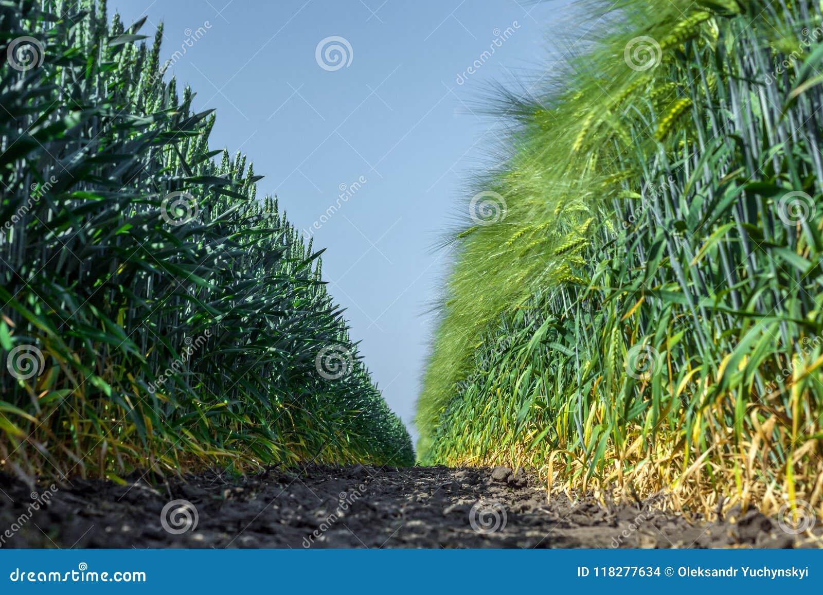 Dos paredes de plantas perfectamente lisas y similares del trigo y de la cebada, como dos ejércitos, uno enfrente del otro contra