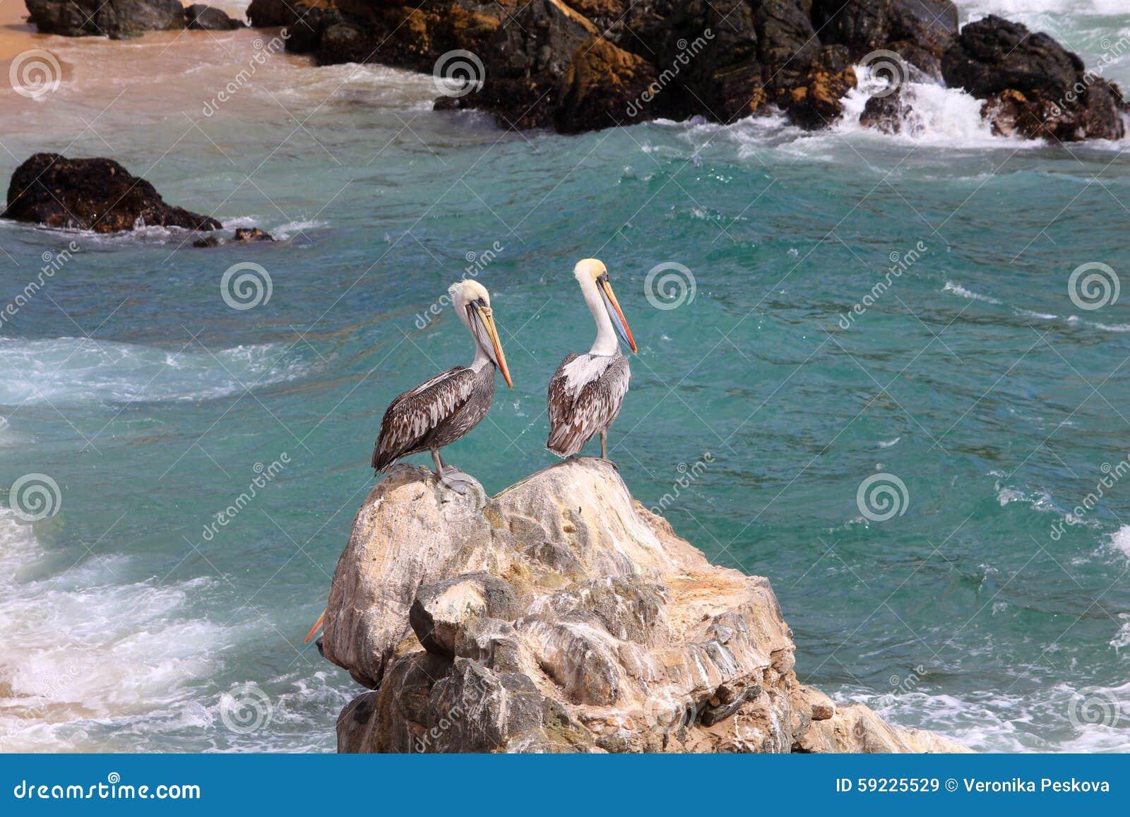 Dos pelícanos