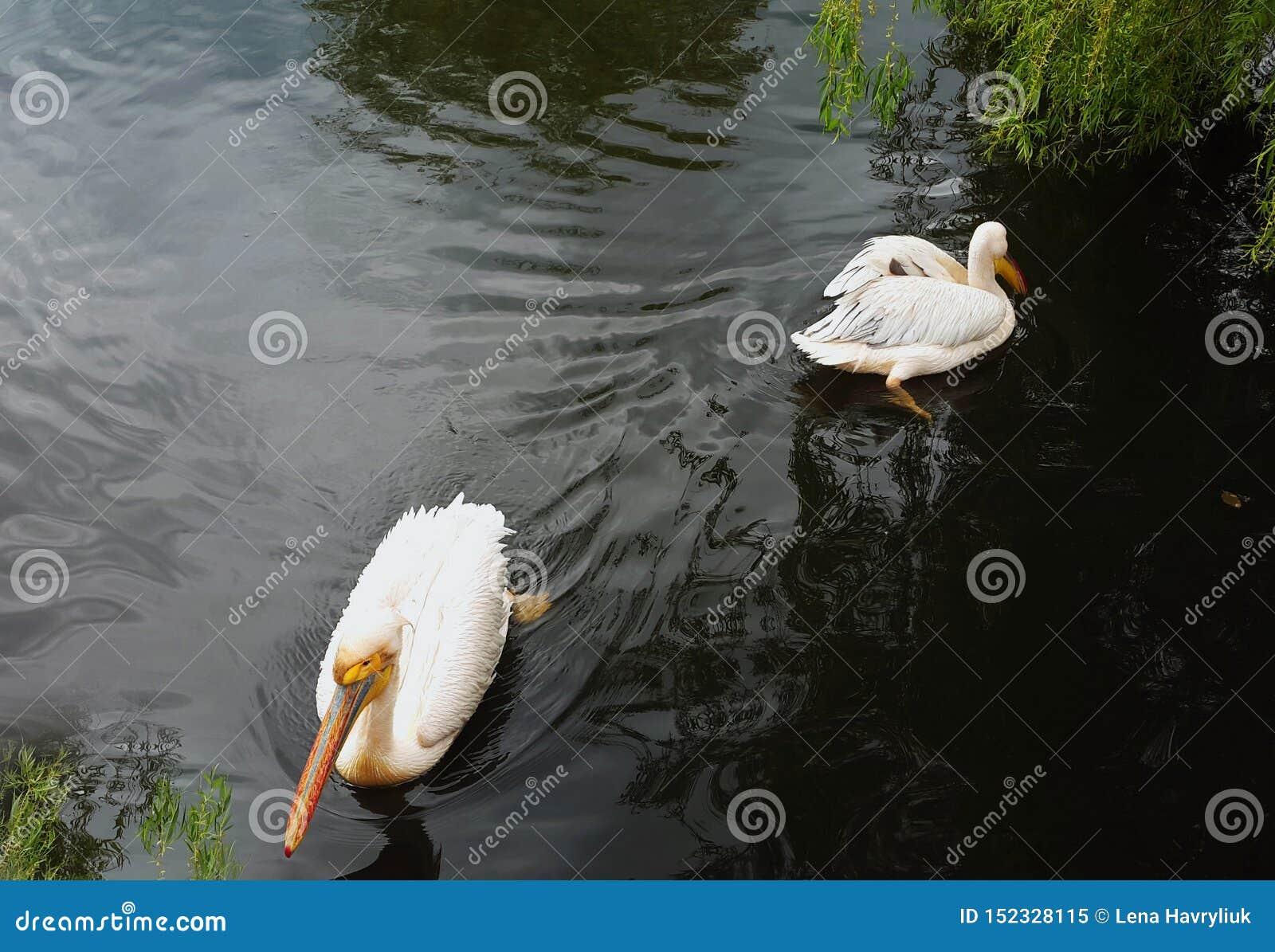 Dos pelícanos pelean y nadan a las direcciones de oposición