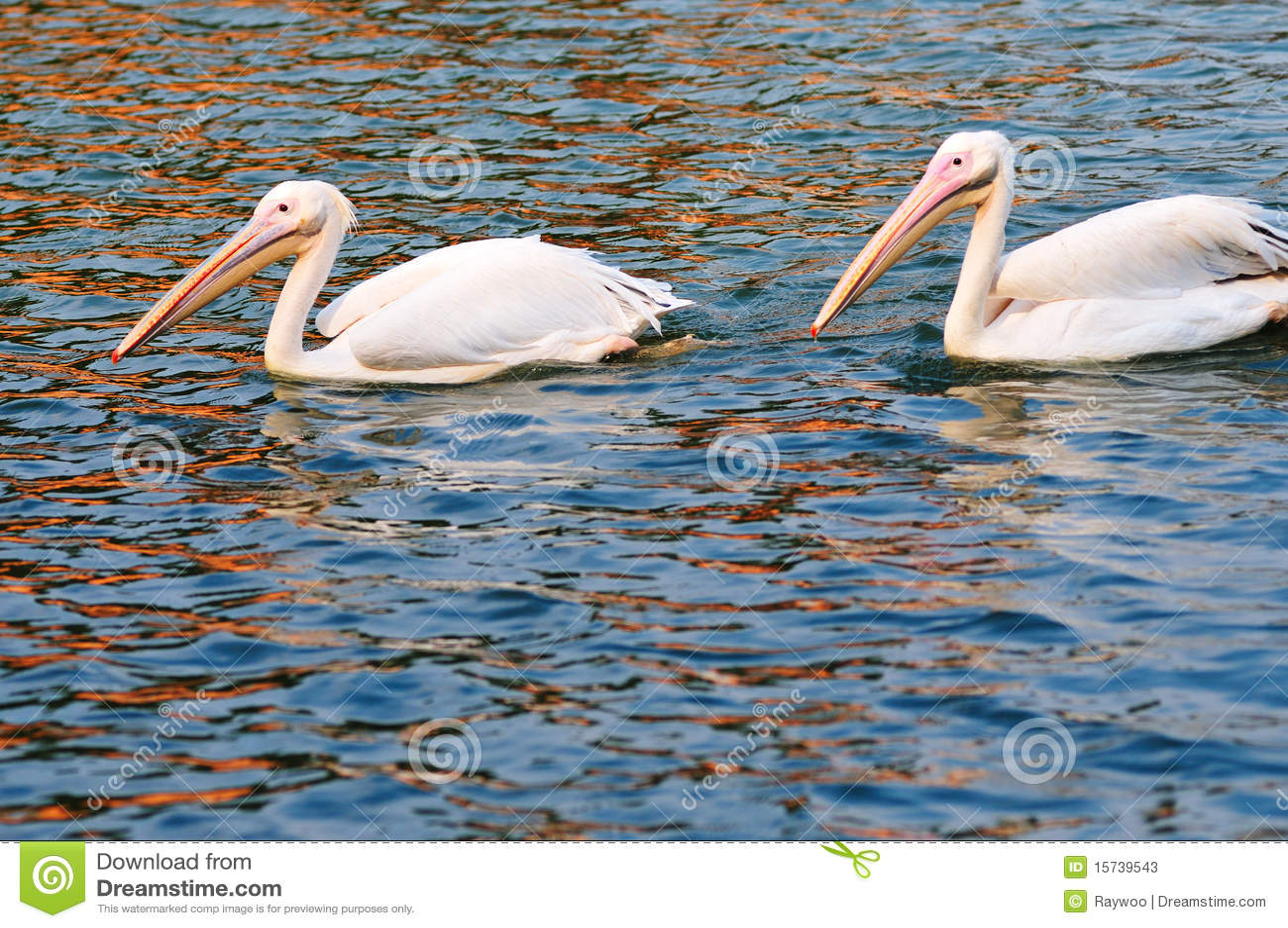 Dos pelícanos que nadan