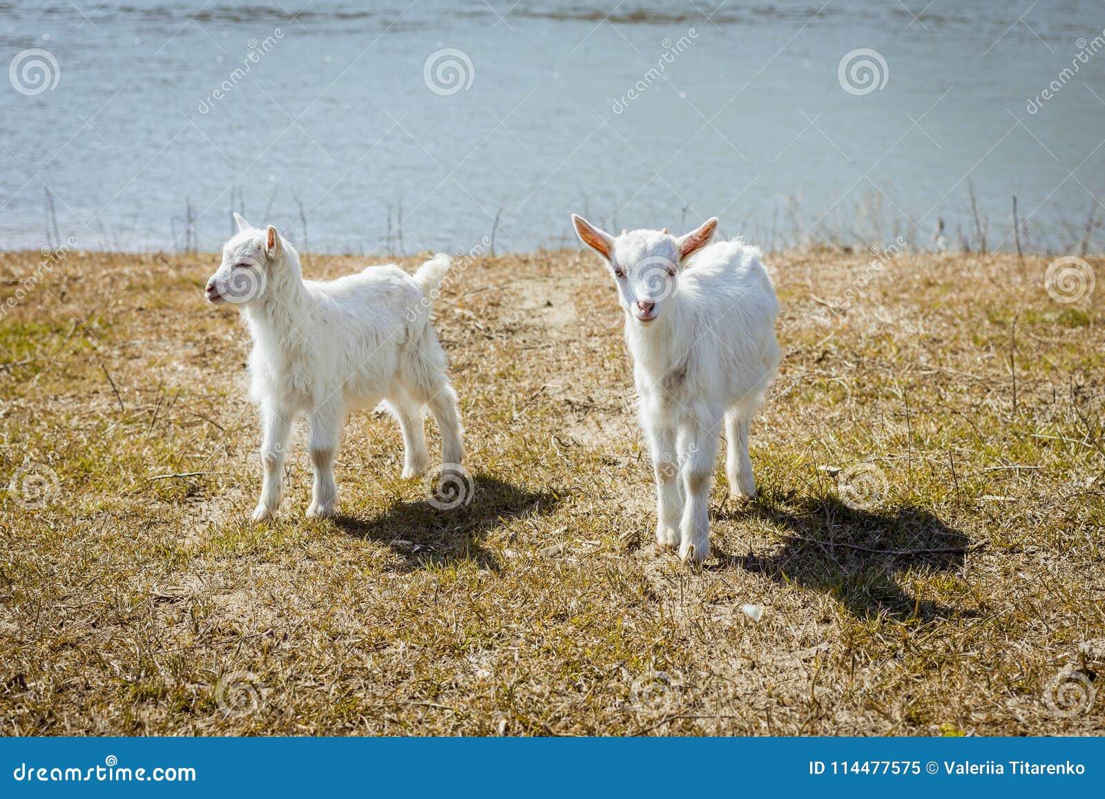Dos Pequeñas Cabras Están Mirando En El Marco Animales Preciosos Y ...