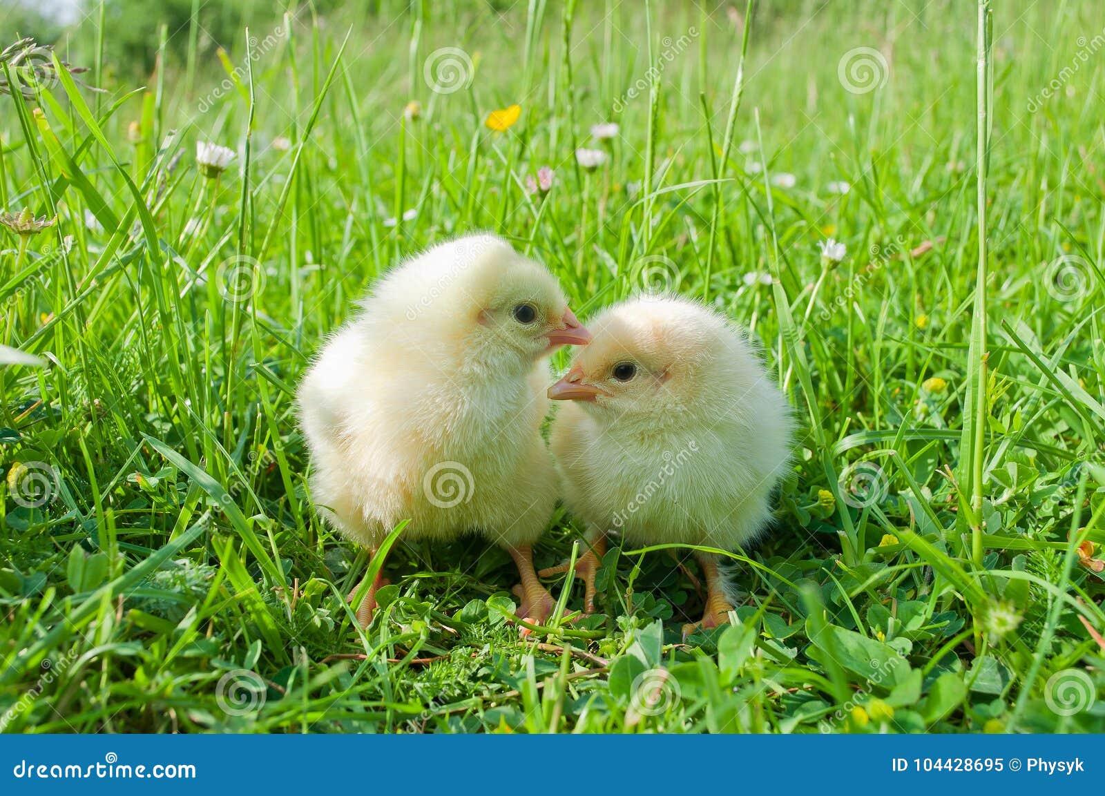 Dos pequeños polluelos blancos en hierba verde