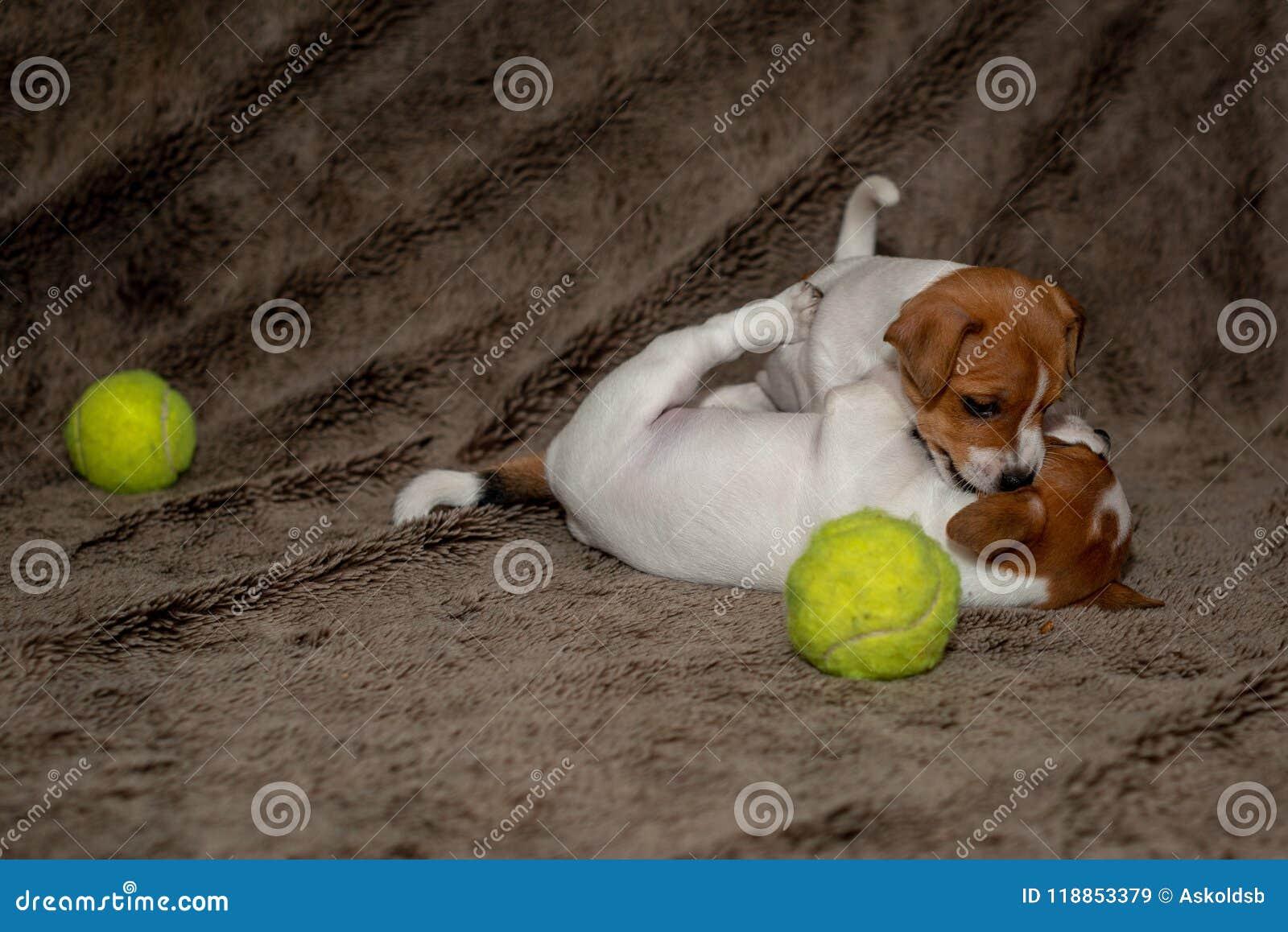 Dos perritos de Jack Russell juegan con uno a para las mantas marrones