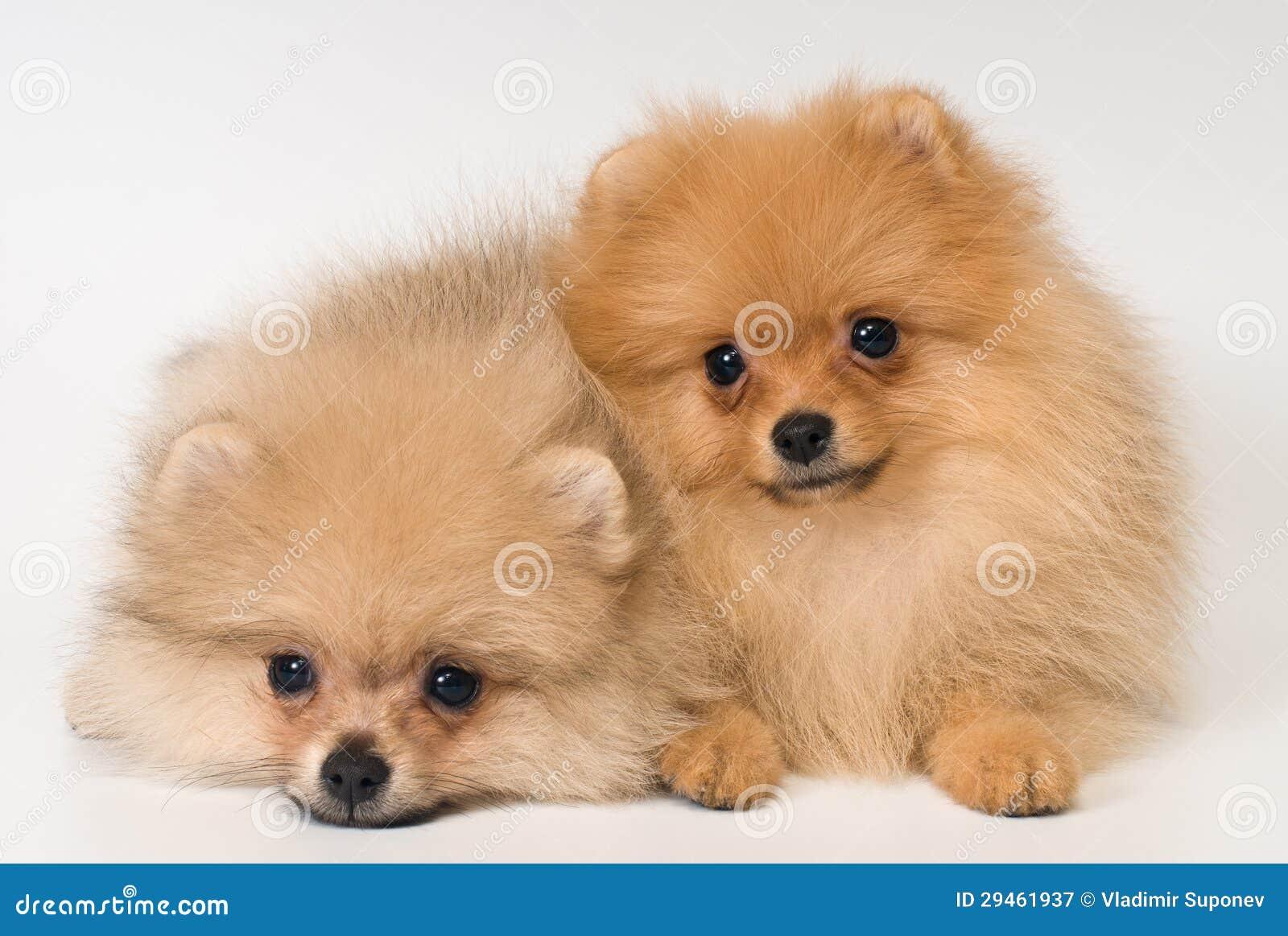 Dos Perritos De Raza Un Perro De Pomerania Perro De Pomeranian En