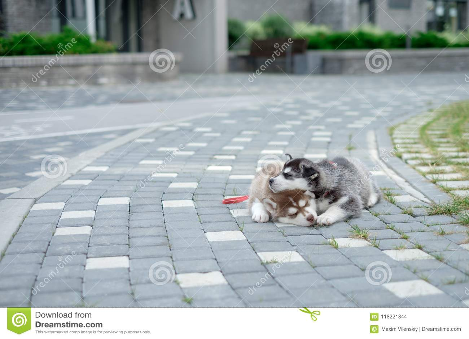 Dos perritos fornidos Perros de la litera que duermen en la calle