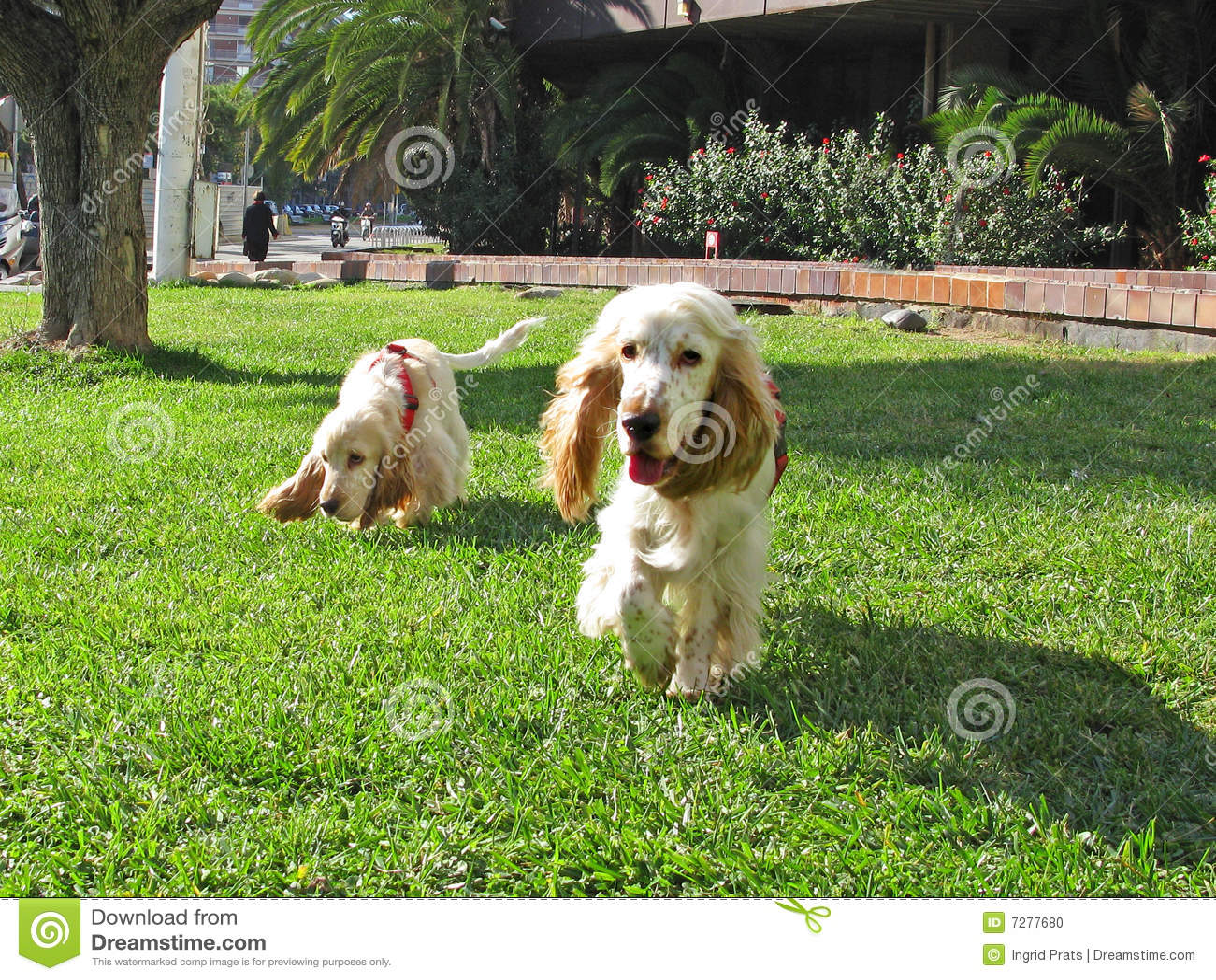 Dos perritos ingleses del perro de aguas de cocker